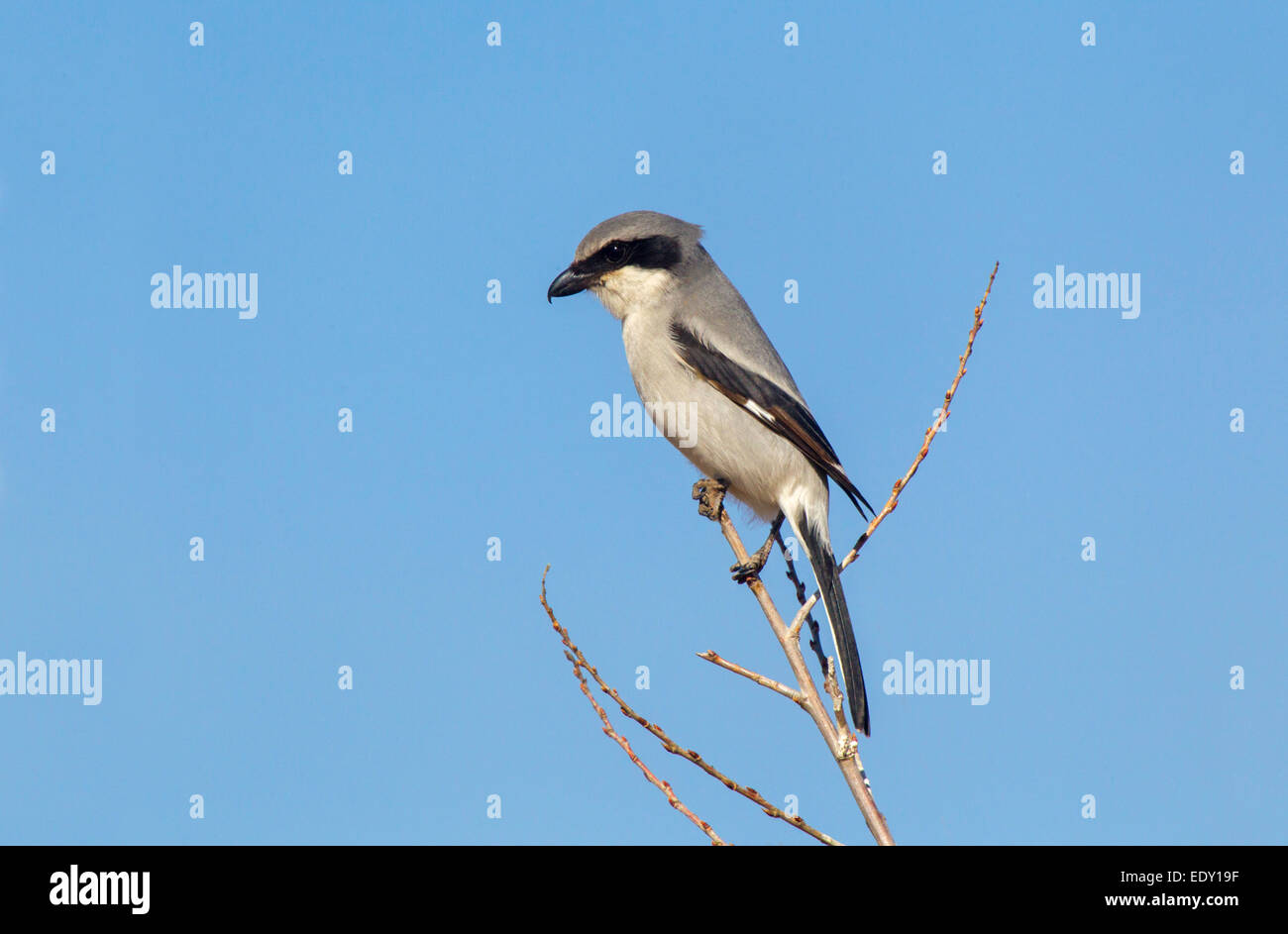 Loggerhead Shrike  Lanius ludovicianus Whitewater Draw, Cochise County, Arizona, United States  9 January      Adult Stock Photo