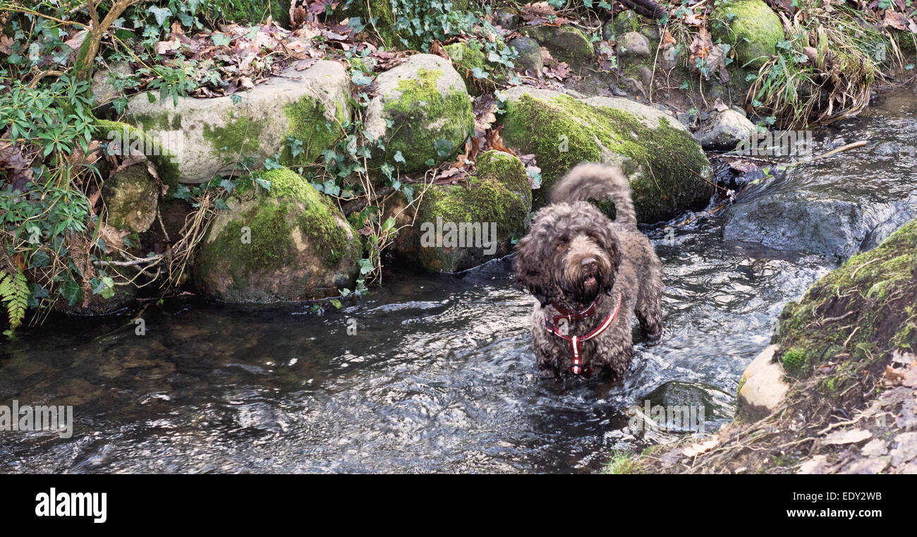 Cockapoo going for a swim in a stream in the woods - Stock Image