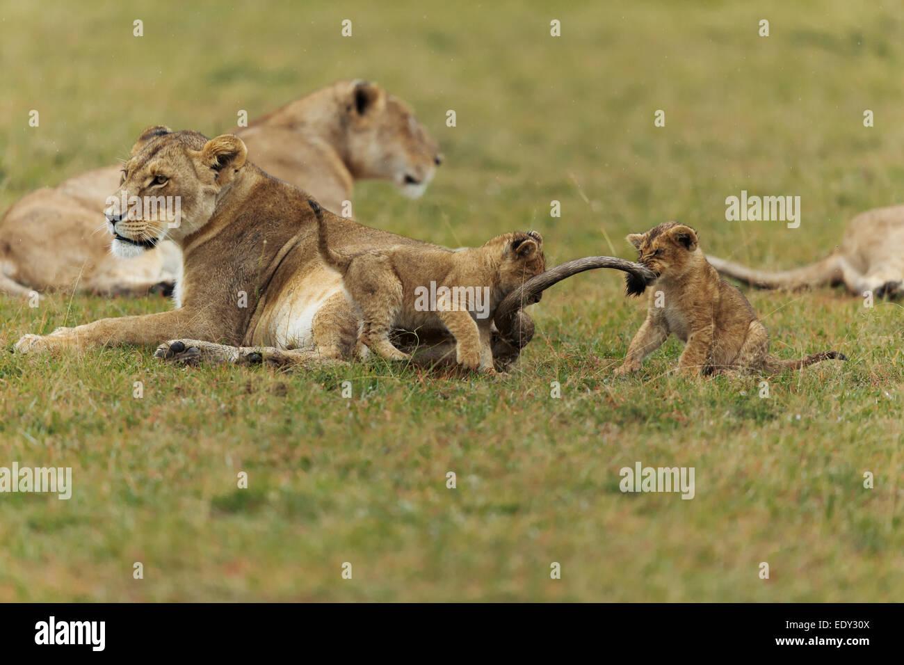 lions cub plying time  savannah masai mara kenya safari - Stock Image