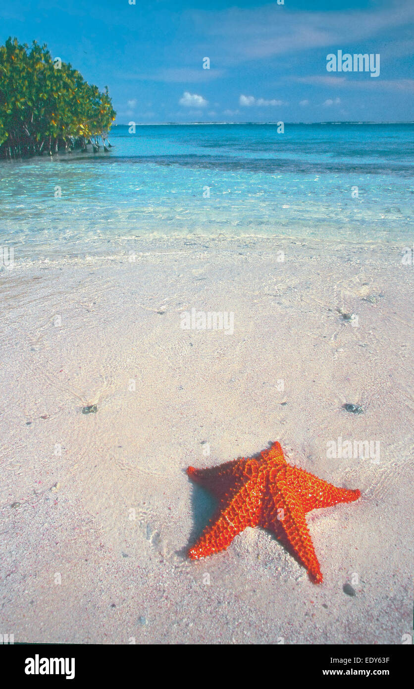 Red cushion sea star  or West Indian sea star (Oreaster reticulatus) Los Roques National Park Venezuela South America - Stock Image