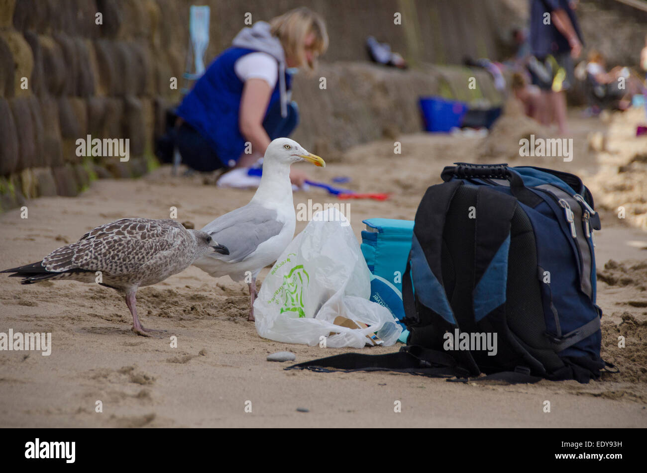 2 fearless herring gulls (1 adult, one juvenile) eyeing up an opportunity to pinch food from picnic bags on the Stock Photo