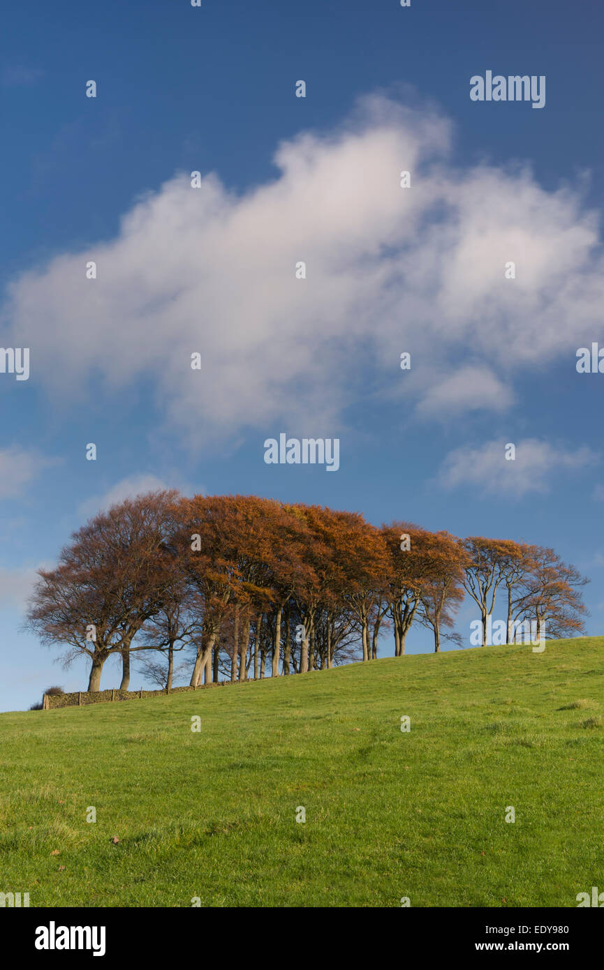 Bright green grass, deep blue sky & colourful brown leaves on trees (copse) growing high on hill top in autumn - Stock Image