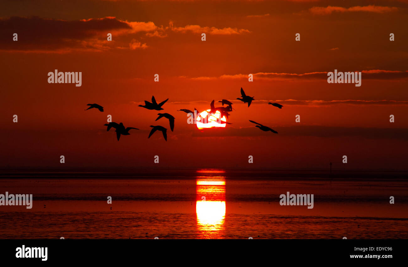 Geese flying in front of the rising sun above the sea - Stock Image