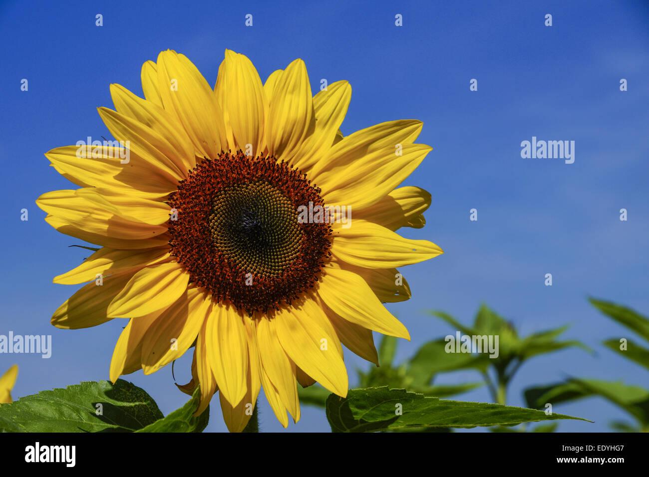 Sonnenblume, Helianthus annuus, Sonnenblumenfeld, Sunflower, sunflower field, Day, Sunny, Nobody, Bright, Agriculture, - Stock Image