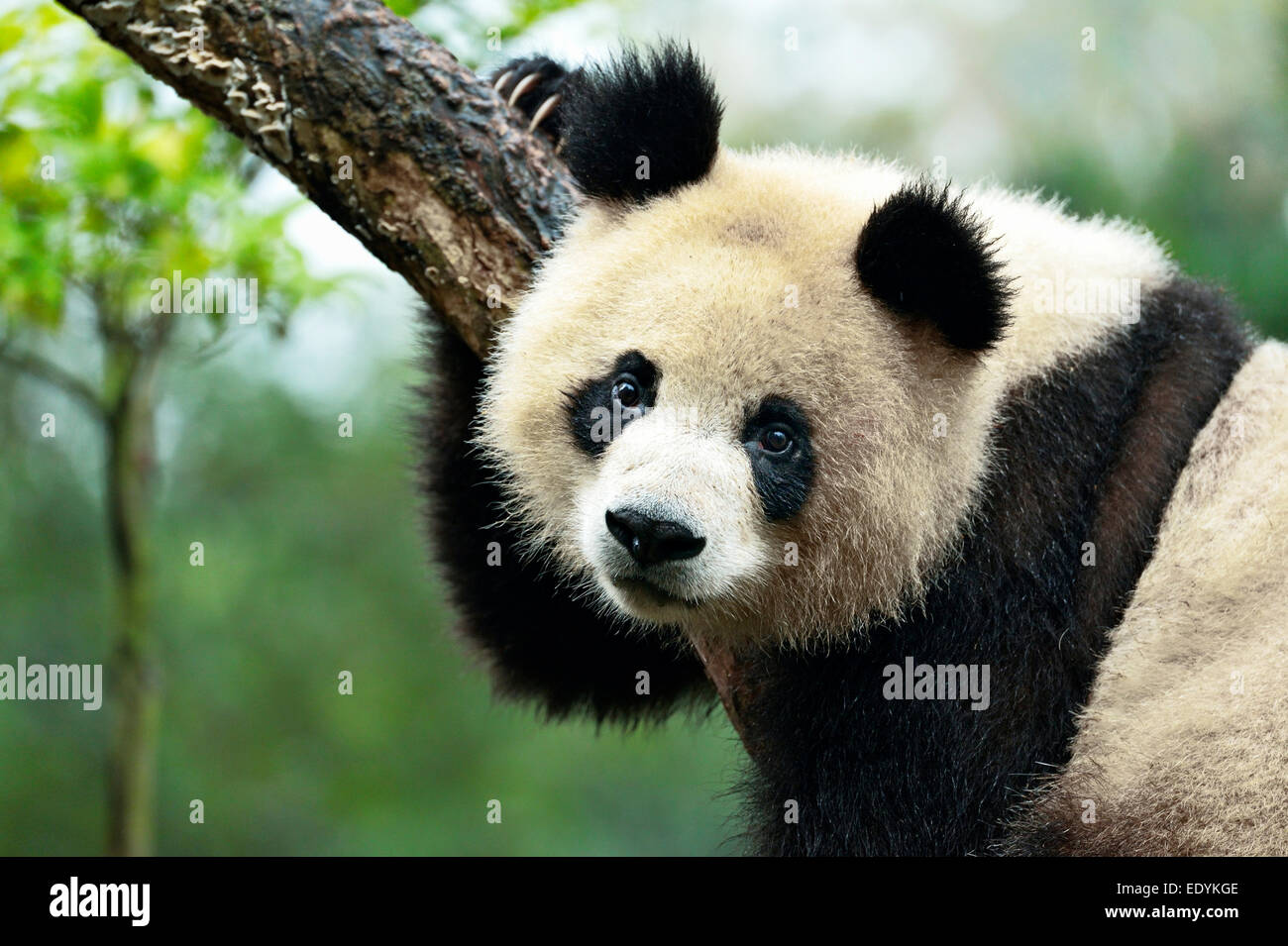 Giant Panda (Ailuropoda melanoleuca) perched on a tree, captive, Chengdu Research Base of Giant Panda Breeding or - Stock Image
