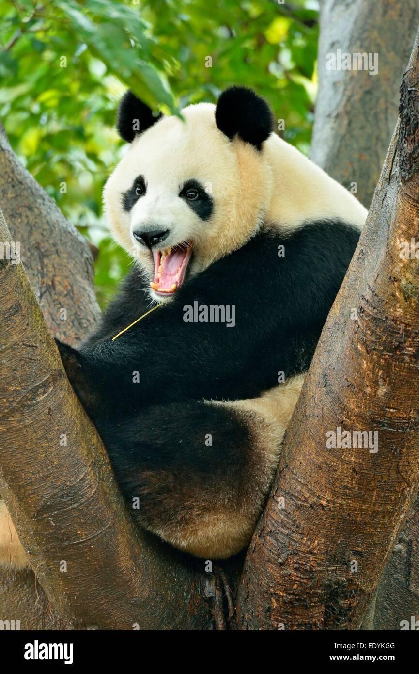 Giant Panda (Ailuropoda melanoleuca) perched on a tree, captive, Chengdu Research Base of Giant Panda Breeding or - Stock Image