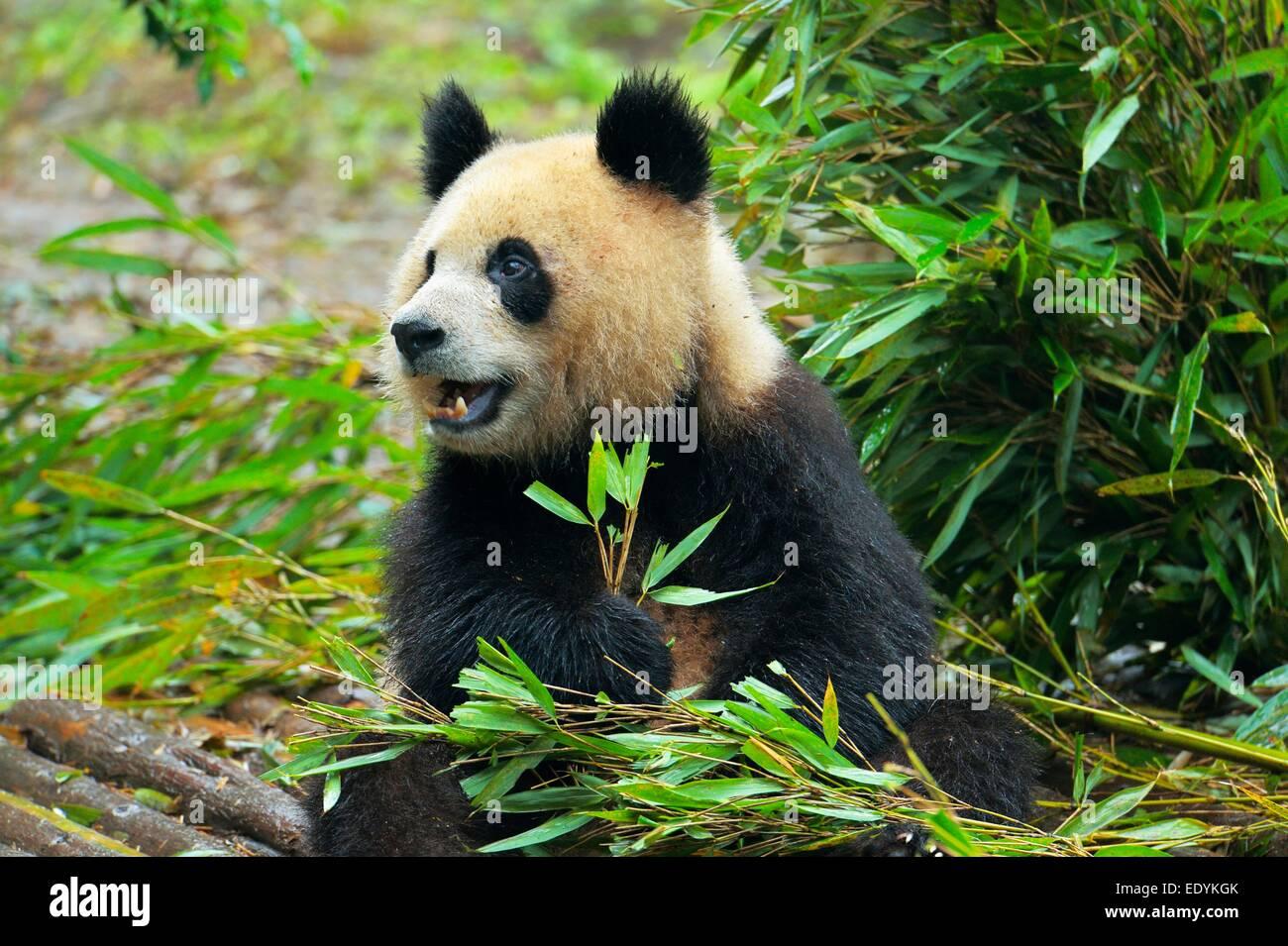 Giant Panda (Ailuropoda melanoleuca) feeding on bamboo leaves, captive, Chengdu Research Base of Giant Panda Breeding - Stock Image