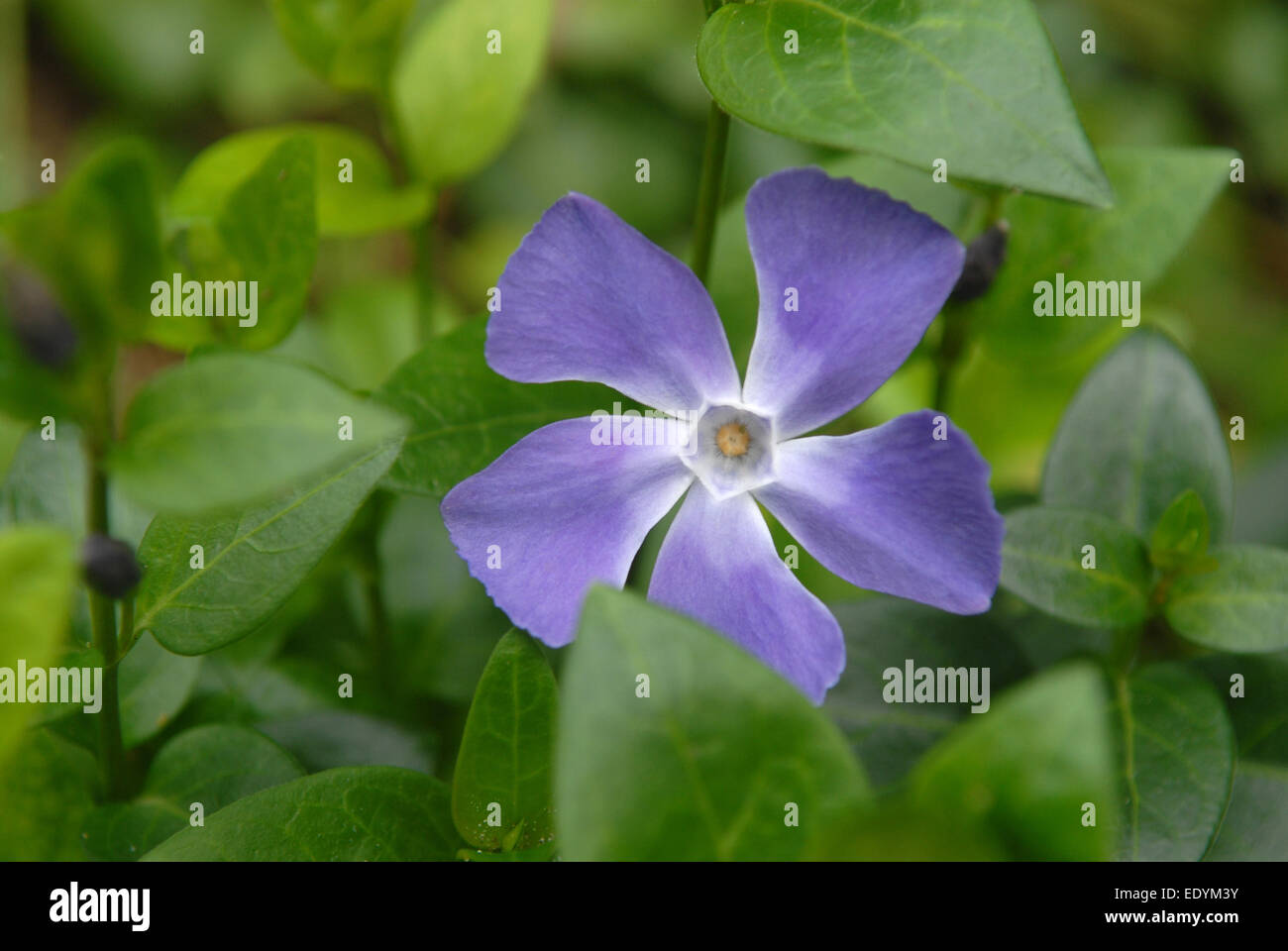This is a periwinkle (Vinca minor) in bloom. Violet flower is situated against green leaves background. - Stock Image