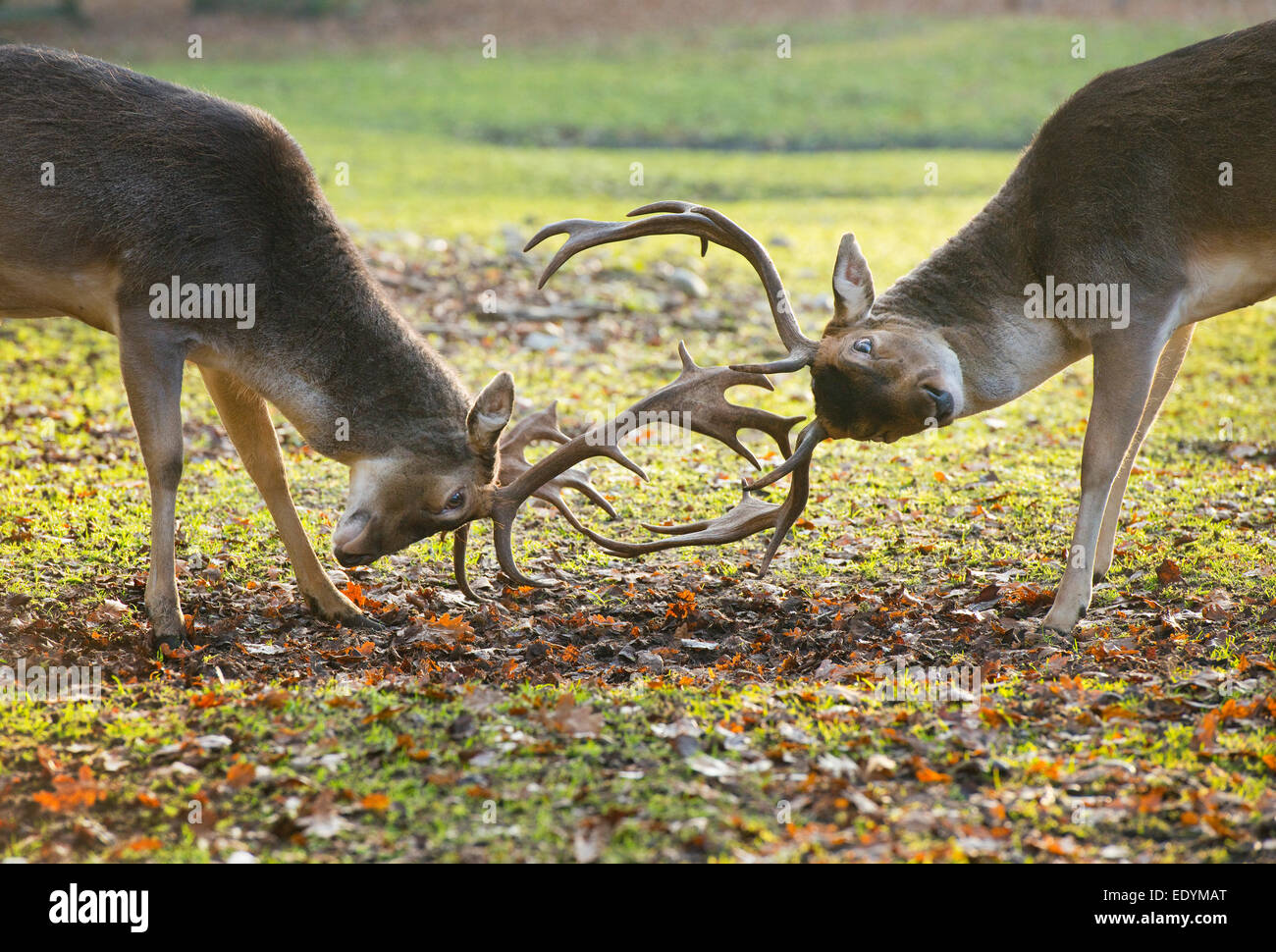 Fallow Deer (Dama dama), in a play-fight, captive, Lower Saxony, Germany - Stock Image
