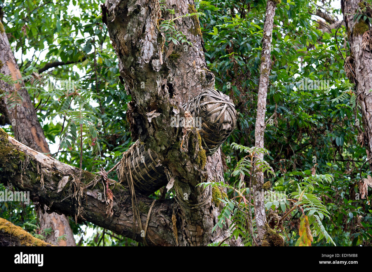 Traditional beehive, from bark, climber and bamboo in a tree, Bale Mountains, Ethiopia - Stock Image