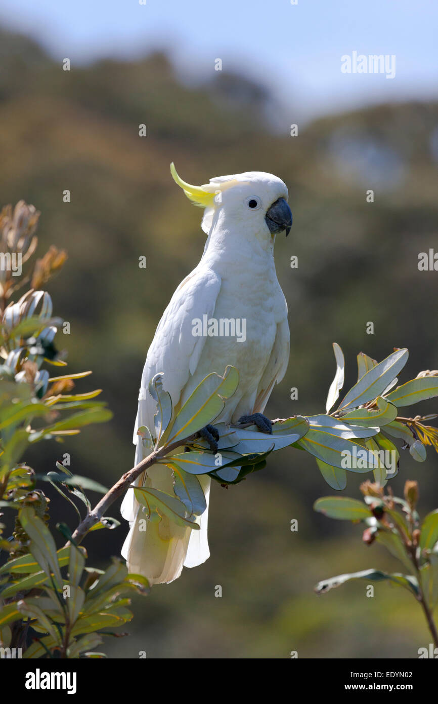 Sulphur Crested Cockatoo in a tree Australia - Stock Image