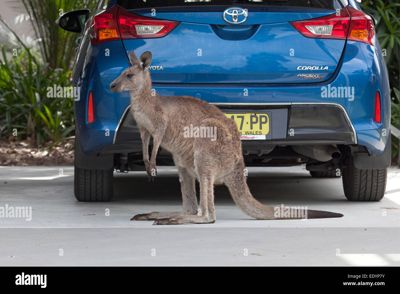 Kangaroo in front of a parked car in New South Wales,Australia - Stock Image