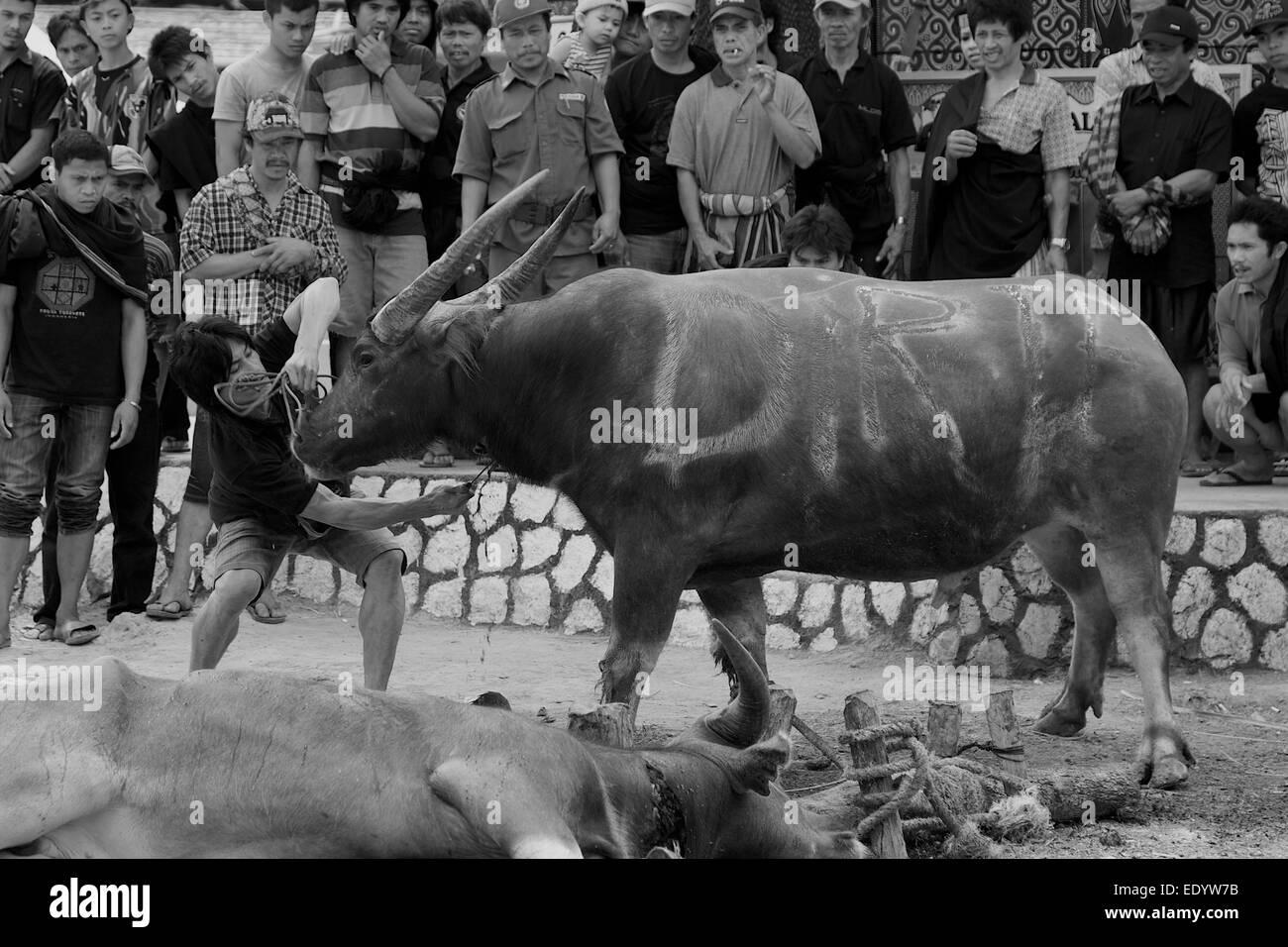 Buffalo killing at funeral ritual in Tana Toraja, Sulawesi - Stock Image