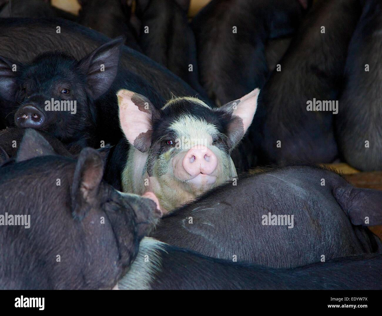 The odd one out. White pig amongst black pigs at Rantepao market, Sulawesi - Stock Image