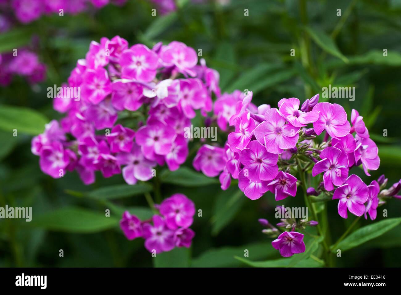 Phlox paniculata 'Fancy Feelings'. - Stock Image