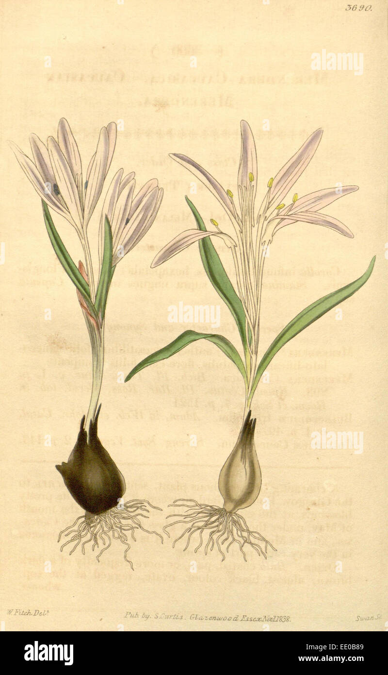 Botanical Print by Walter Hood  Fitch 1817 – 1892, W.H. Fitch  was an botanical illustrator and  artist, born in Stock Photo
