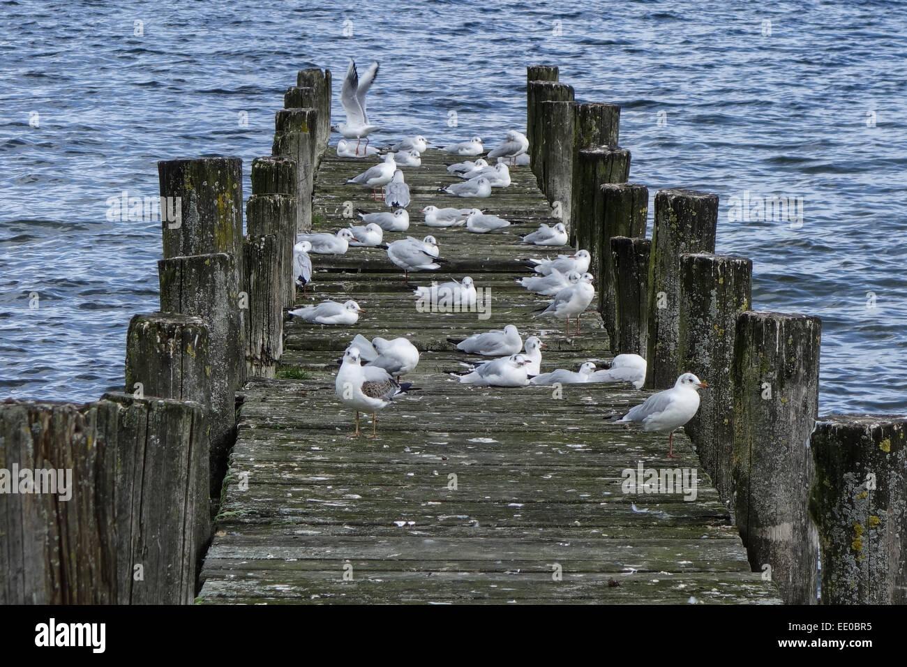 Möven sitzen auf einem Holzsteg im See, Gulls sit on a wooden pier at a lake, Gull, Gulls, Dock, Pier, Wooden, - Stock Image