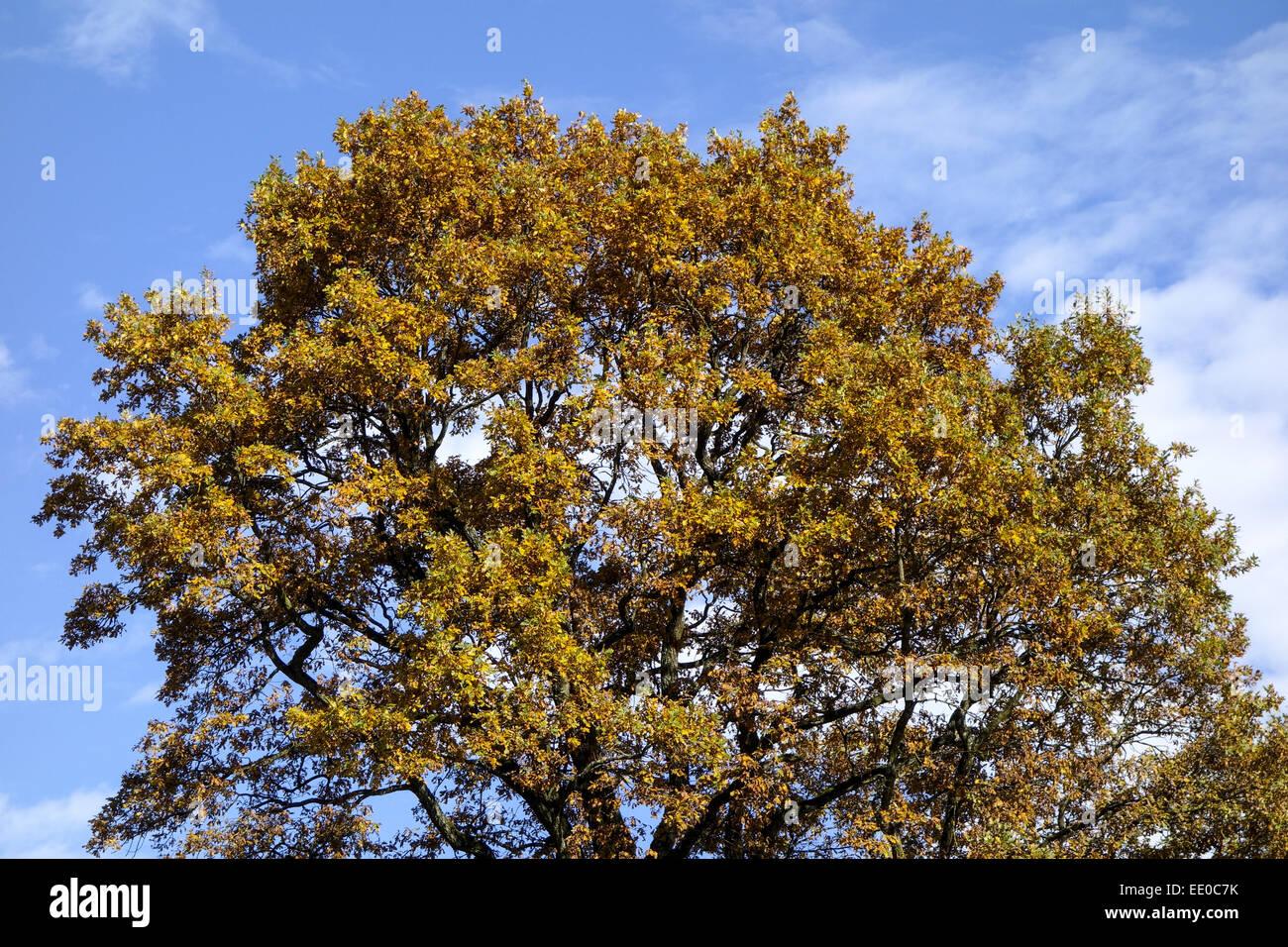 Einzelner Baum, Eiche im Herbst, Single oak tree in autumn, Oak, Tree, Trees, Autumn, Leaves, Autumnal, Season, - Stock Image
