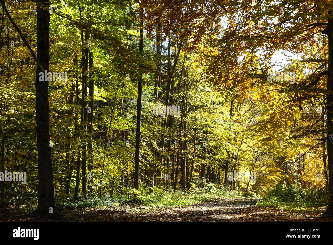 Farbiger Laubwald im Herbst, Colored leaves in autumn deciduous forest, Tree, Trees, Logs, Autumn, Colors, Fall, - Stock Image