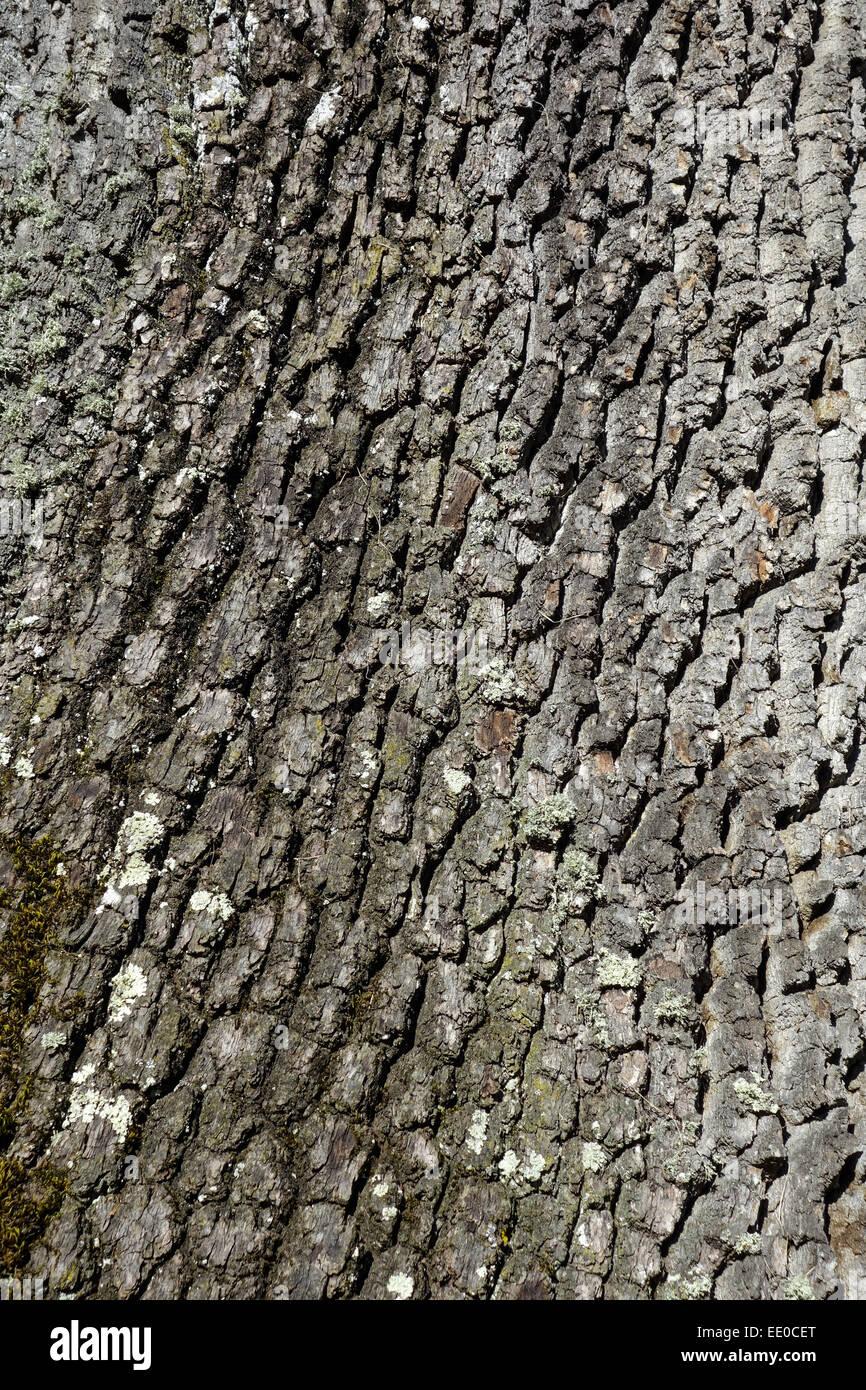 Rinde eines Eichenbaumes, Nahaufnahme, Bark of an oak tree, close-up, English Oak, Quercus Robur, Bark, Lichens, - Stock Image