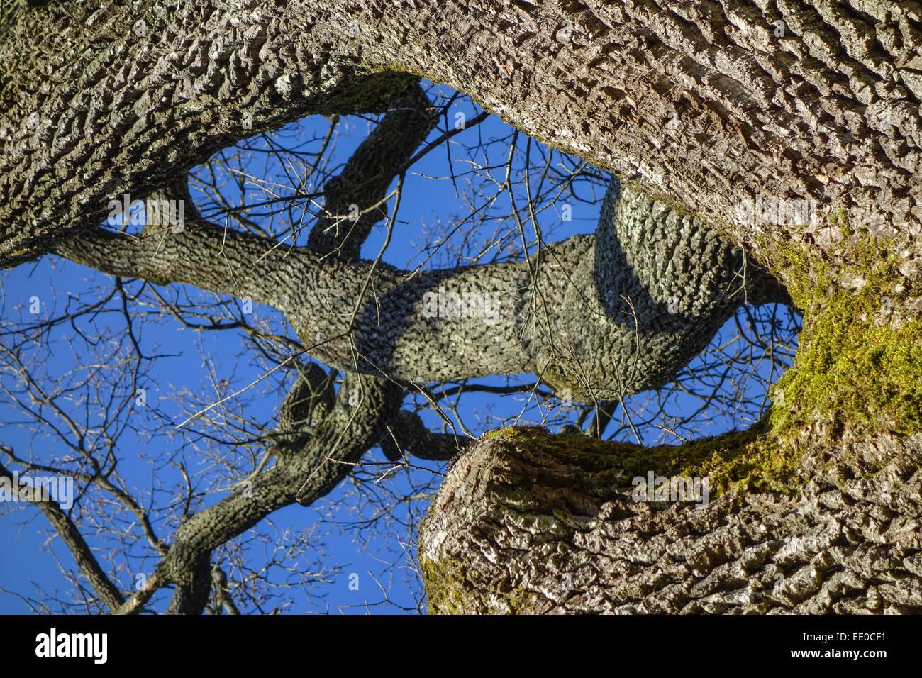 Baum, Eiche im Winter ohne Blätter, Tree, oak tree in winter devoid of leaves, English Oak, Quercus Robur, Bark, Stock Photo