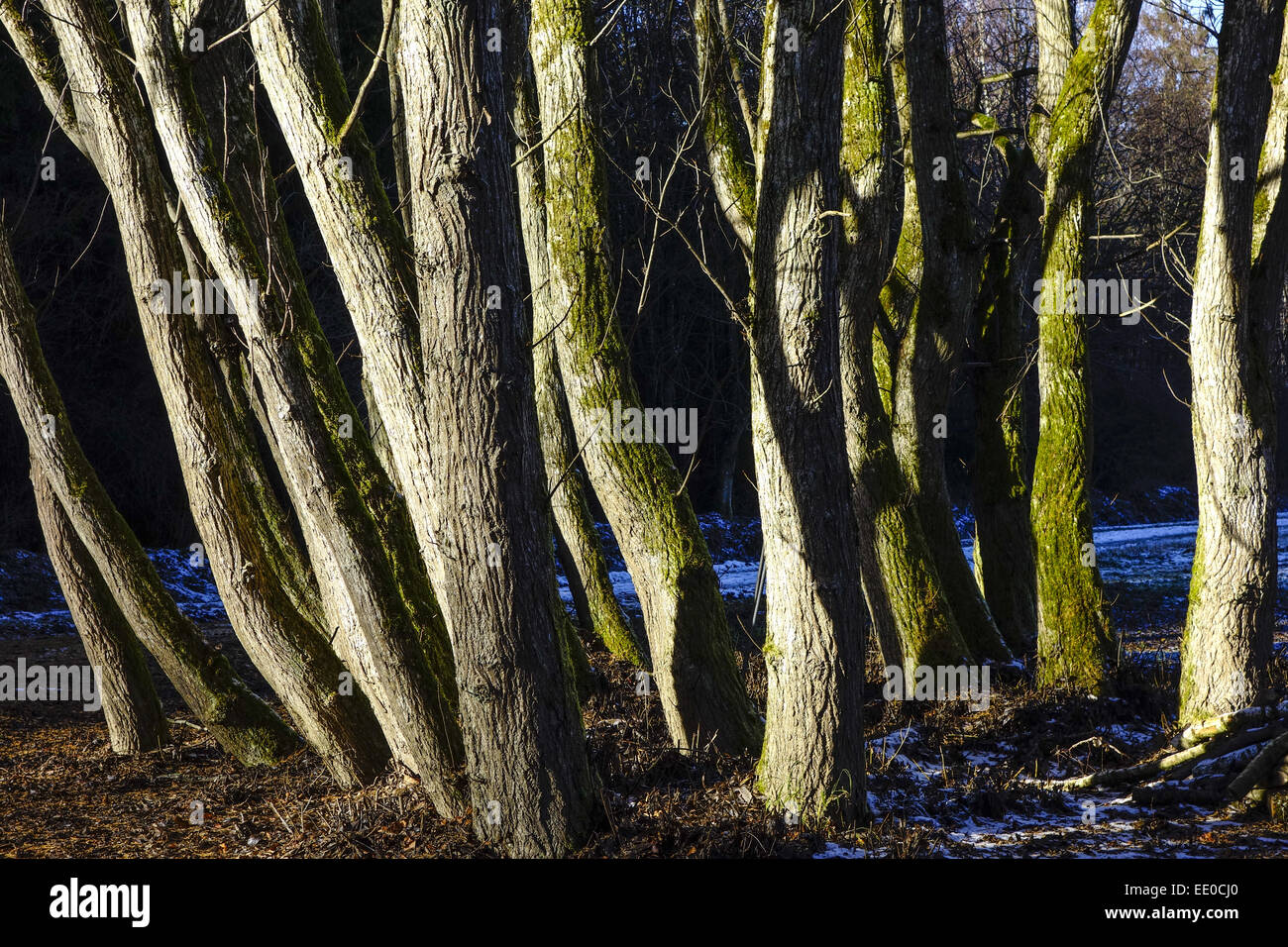 Eine Gruppe Bäume ohne Blätter im Winter, Spätherbst, A group of trees without leaves in winter, late autumn, Winter, Stock Photo