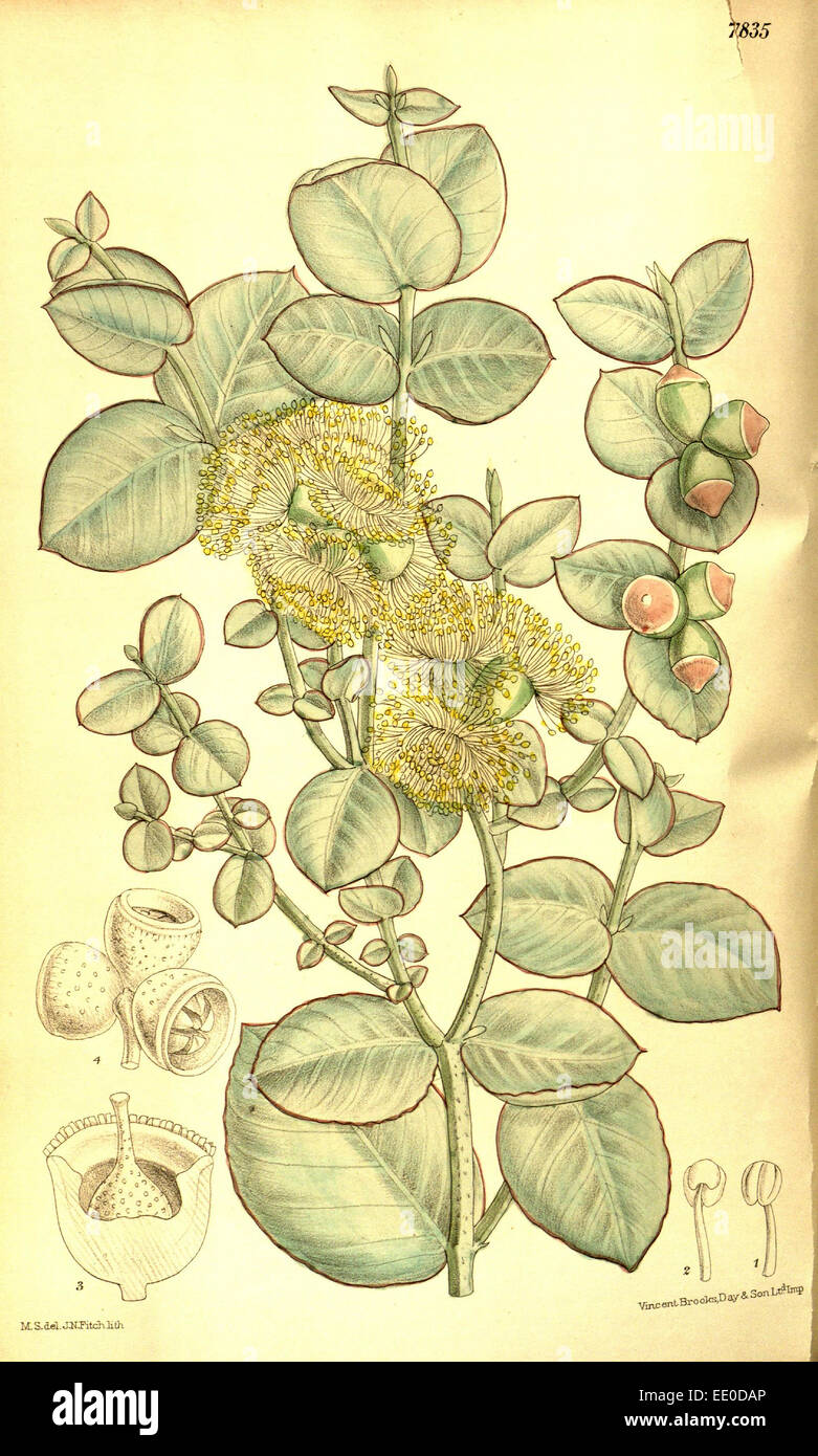 Botanical Print by Walter Hood Fitch 1817 – 1892, botanical illustrator and artist, born in Glasgow, Scotland, UK - Stock Image