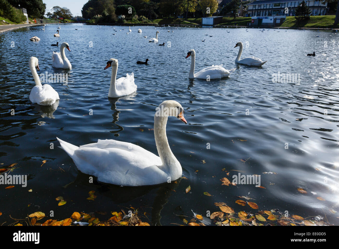 Mute swans on Ryde Boating Lake (also known as the Canoe Lake), Isle of Wight. - Stock Image