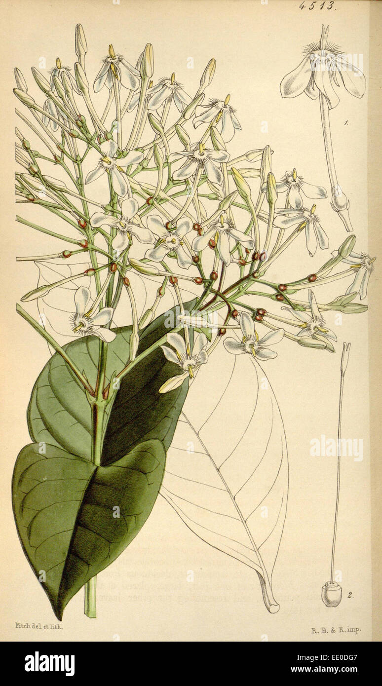 Botanical Print by Walter Hood  Fitch 1817 – 1892, botanical  illustrator and artist, born in  Glasgow, Scotland, - Stock Image
