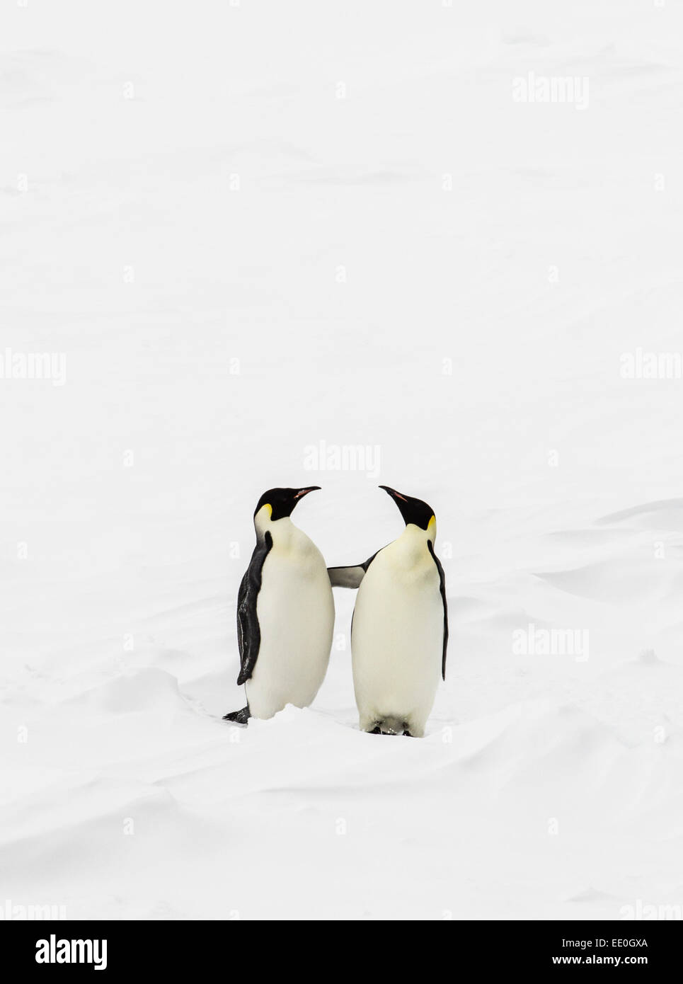 Two emperor penguens standing up and touching each other - Stock Image