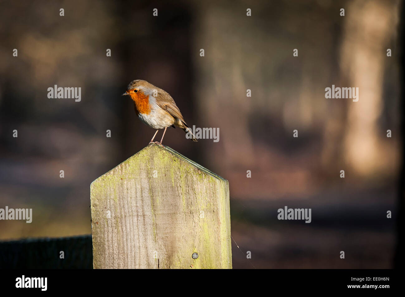 A Robin perched on a fence post.  The Robin is the UK's favourite wild bird. - Stock Image