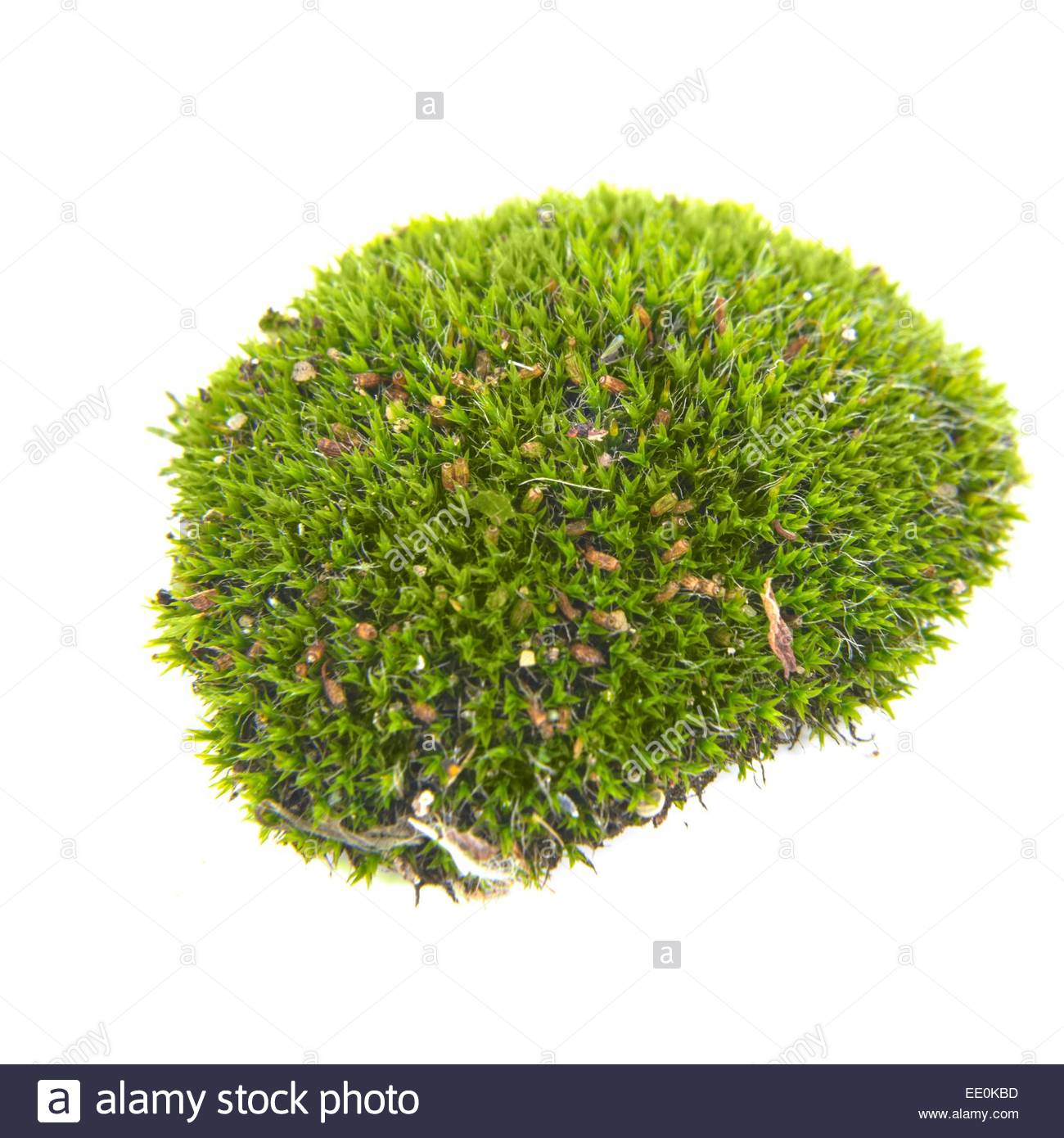 Green moss isolated - Stock Image