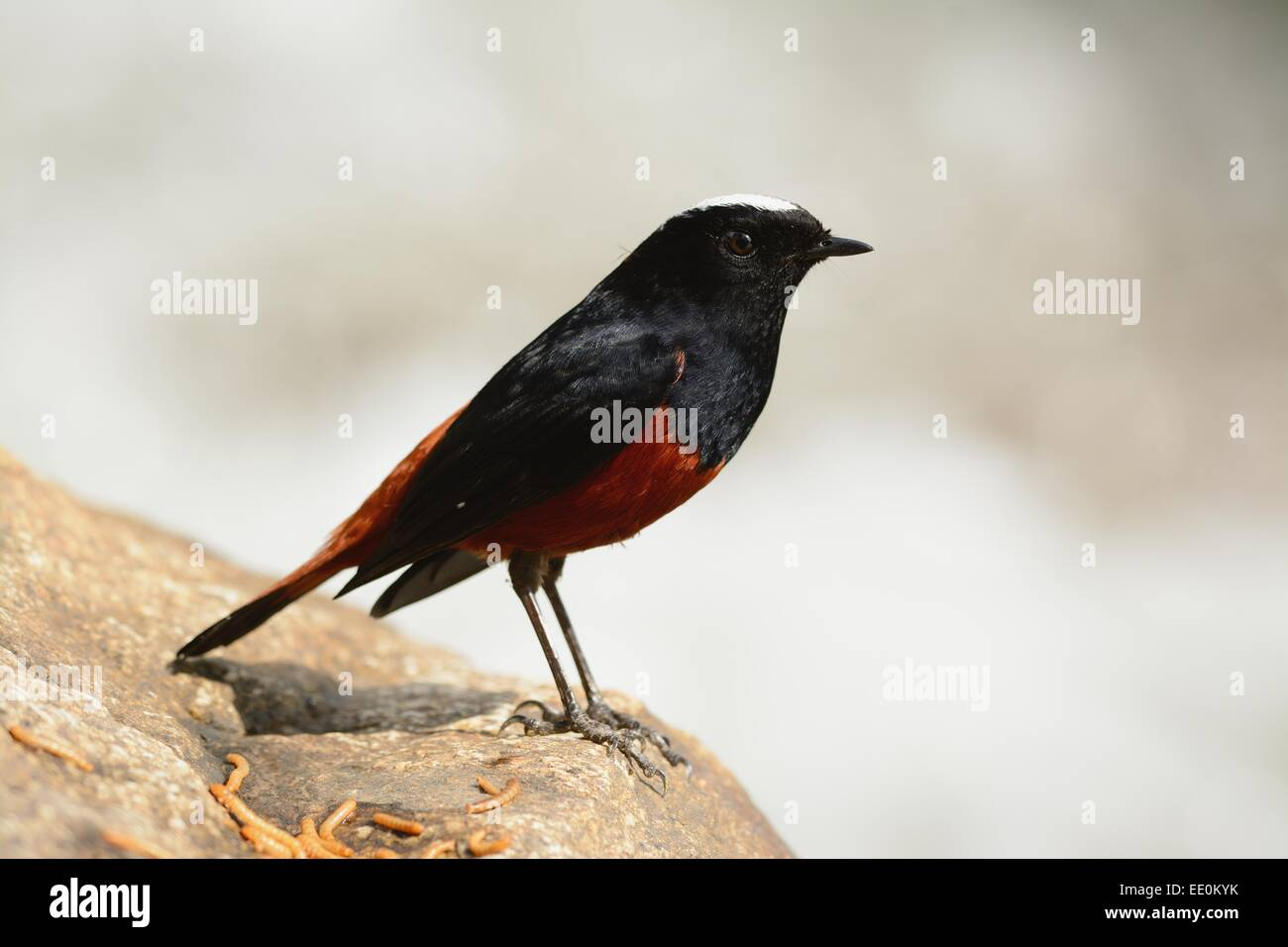 beautiful White-capped Water Redstart (Chaimarrornis leucocephalus) in Thai forest - Stock Image