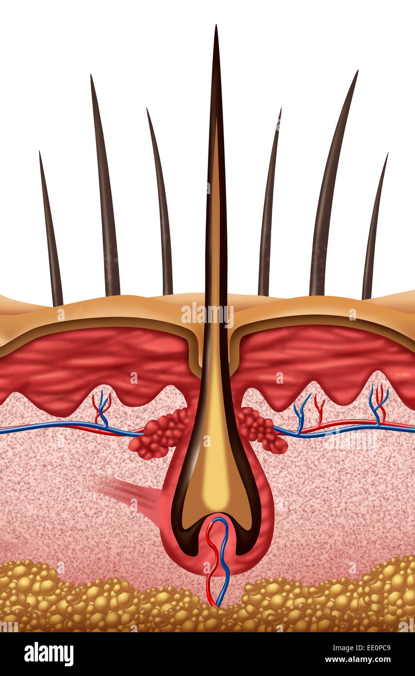 Hair Anatomy Medical Concept As A Close Up Of A Human Follicle