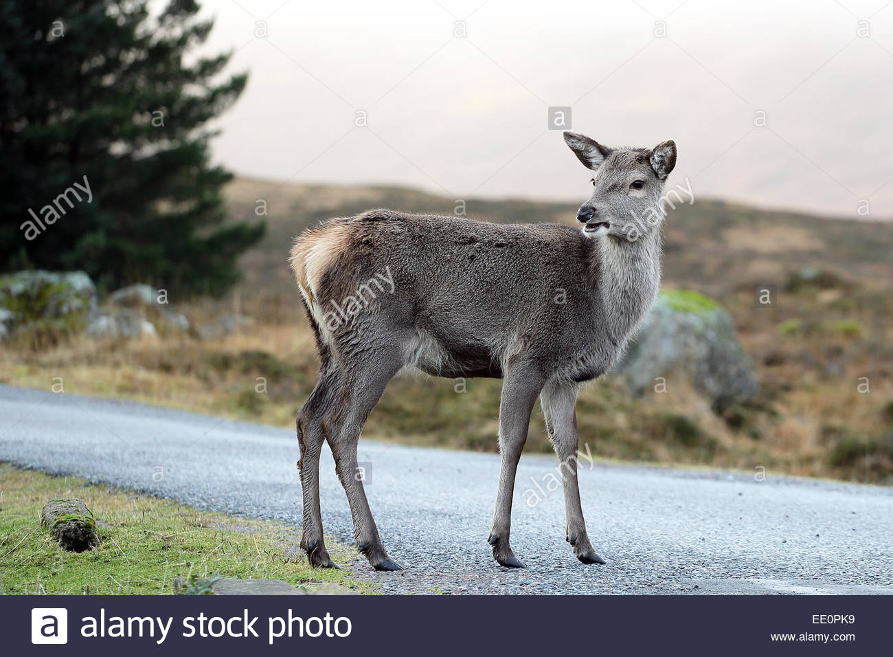 A young Red Deer in the Scottish highlands - Stock Image