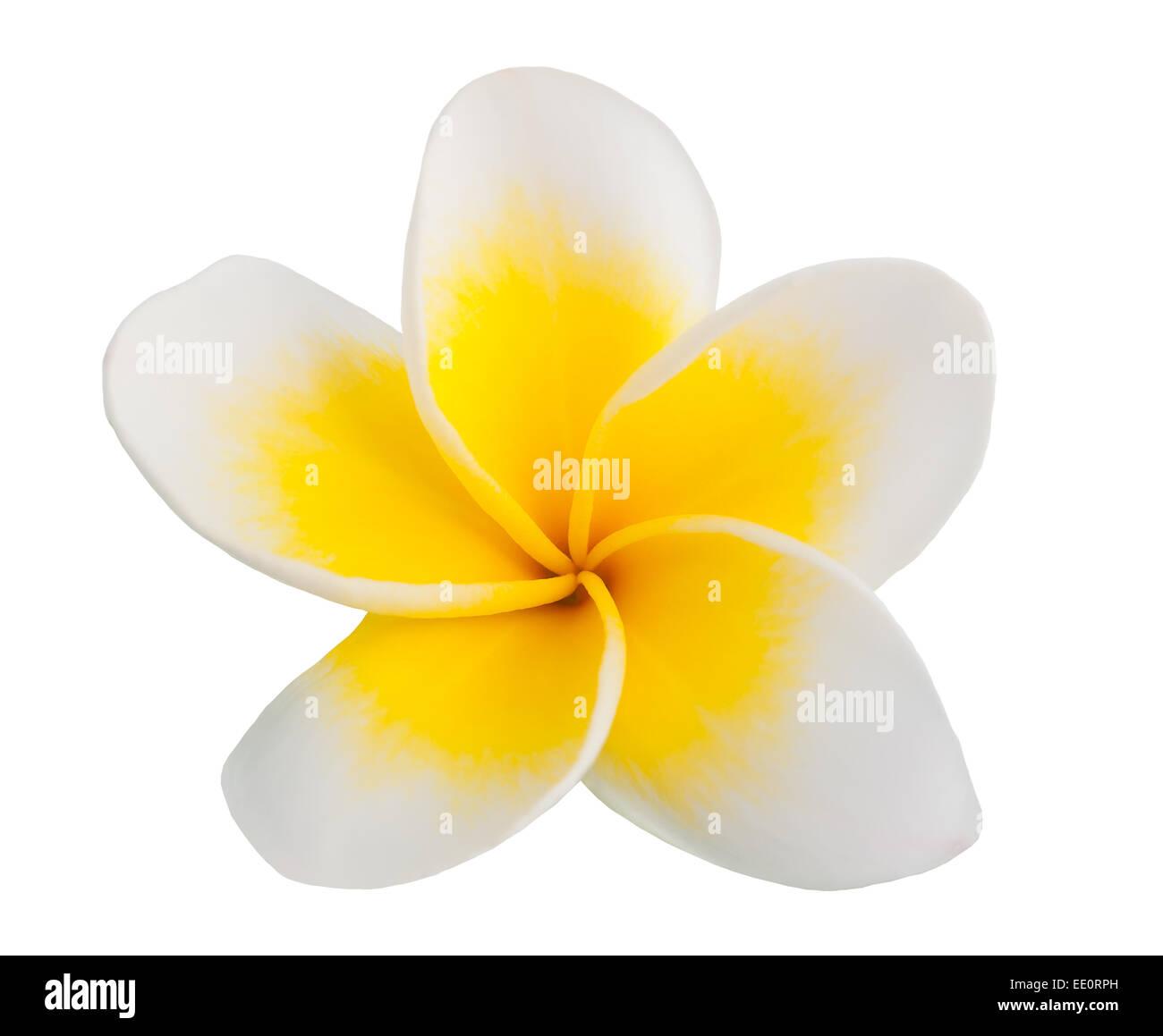 Beautiful Single Flower Plumeria Frangipani Stock Photos Beautiful