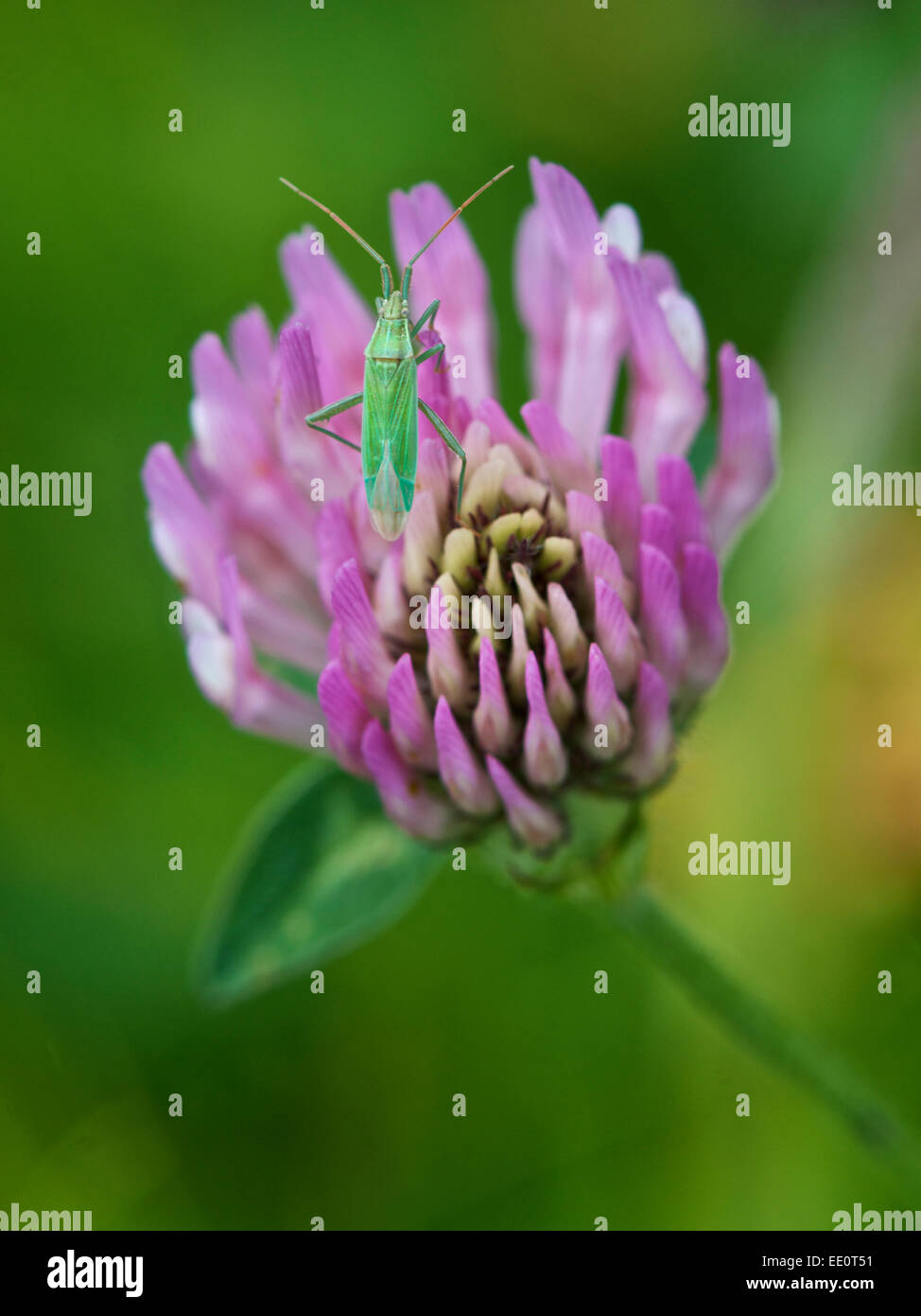 Common Green Capsid Bug On Purple Clover Flower Stock Photo