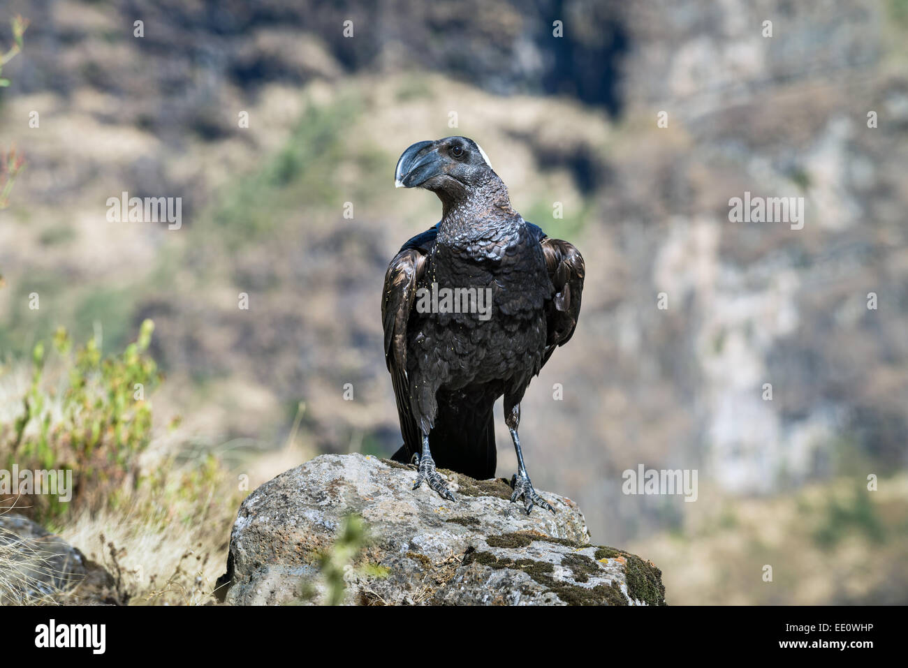 Thick-billed Raven (Corvus crassirostris) adult, standing on rock, Simien national park, Ethiopia, Africa - Stock Image