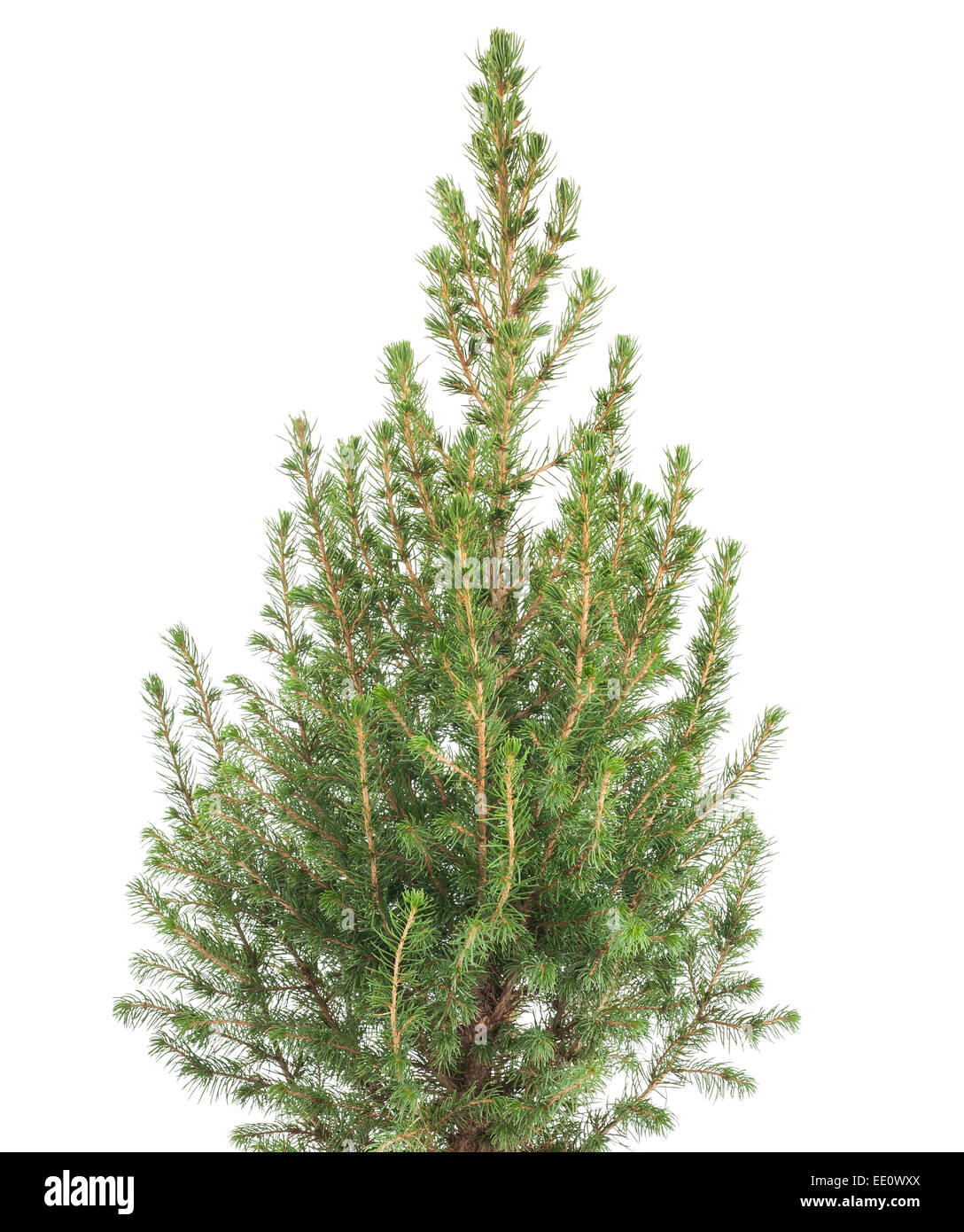 white spruce plant  isolated on white background - Stock Image