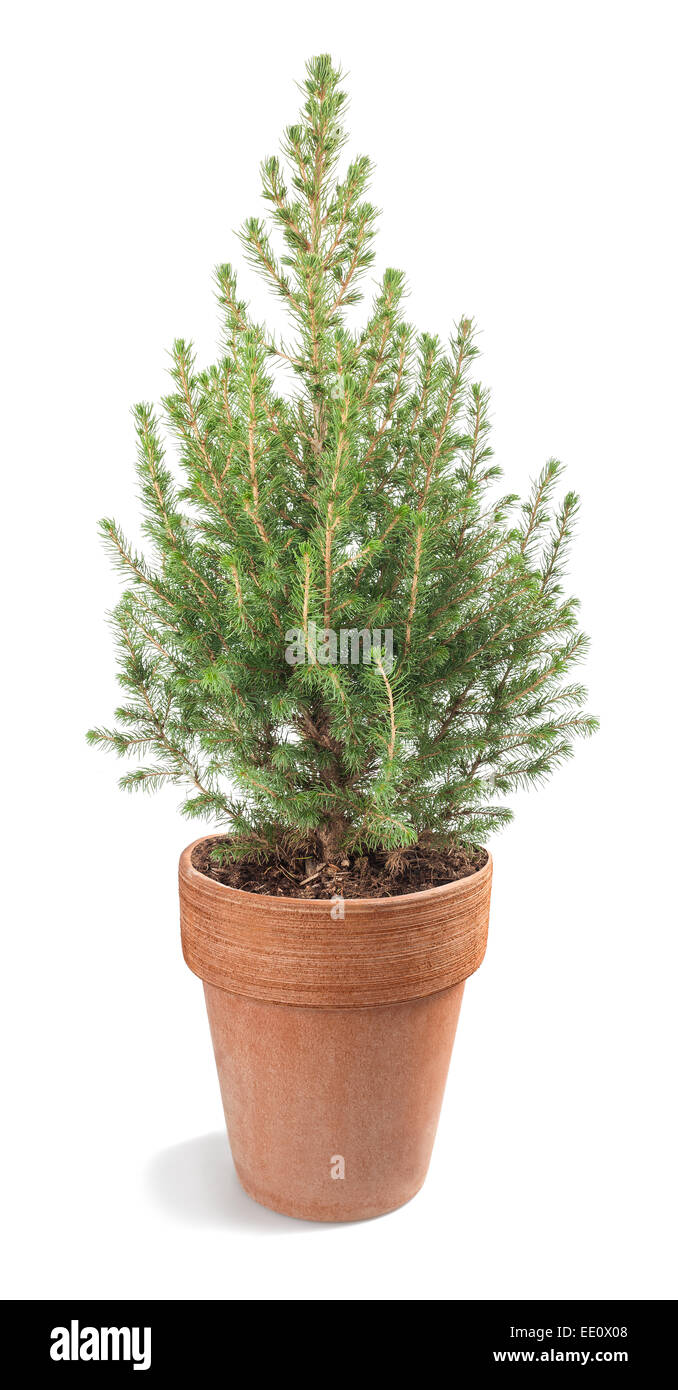 white spruce plant in vase isolated on white - Stock Image