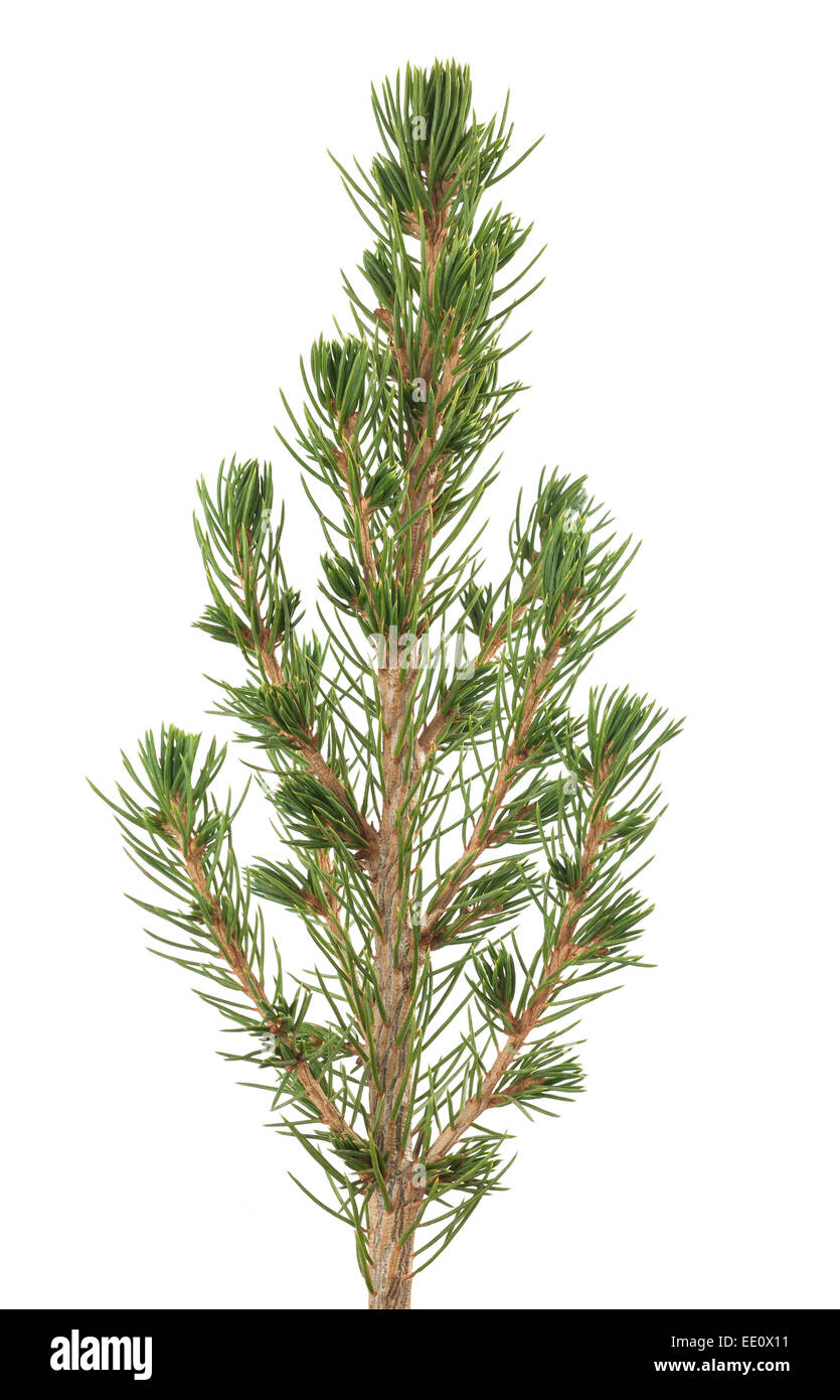 white spruce sprig  isolated on white background - Stock Image