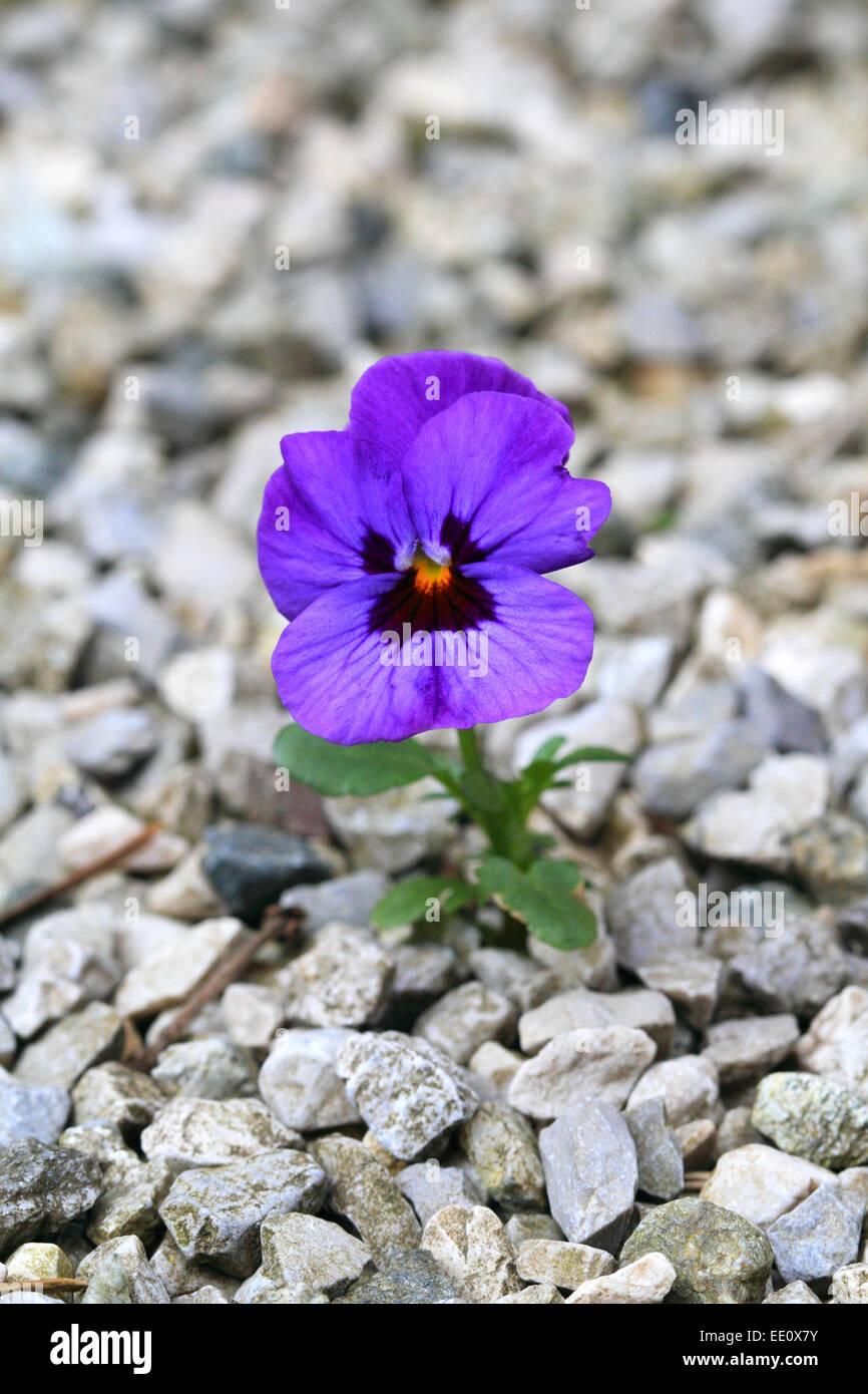 einzelnes Stiefmuetterchen, Viola, bluehend, Kies, Steine - Stock Image