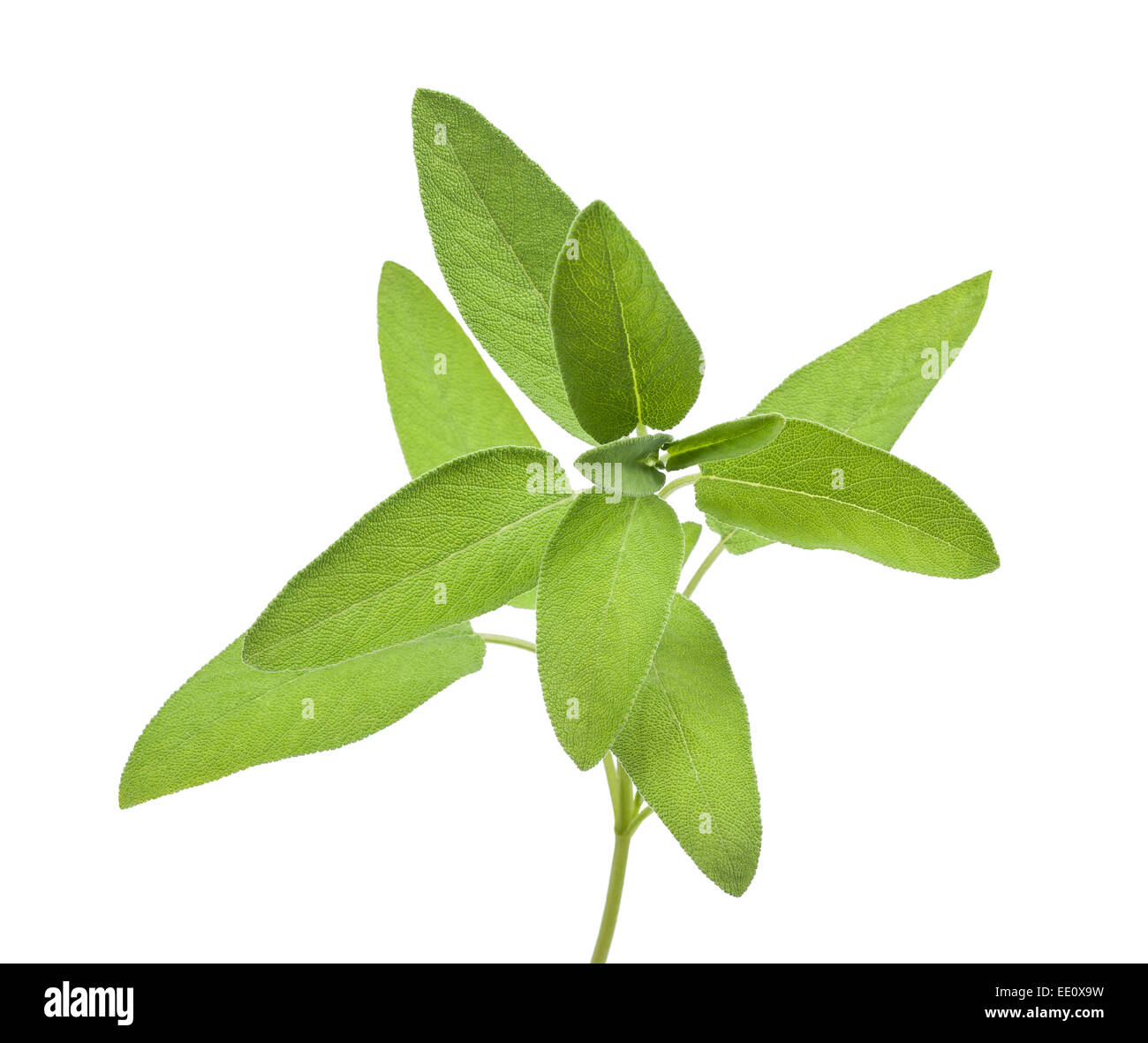 Fresh Sage bunch isolated on white background - Stock Image