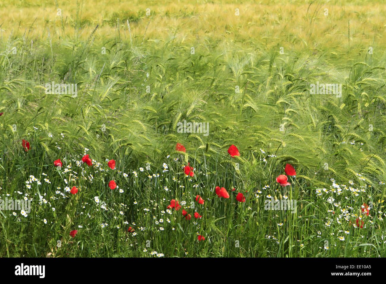Buntes Getreidefeld mit Mohnblumen (Papaver rhoeas) und Kornblumen (Centaurea cyanus), Insel Ruegen, Mecklenburg-Vorpommern, Ost Stock Photo