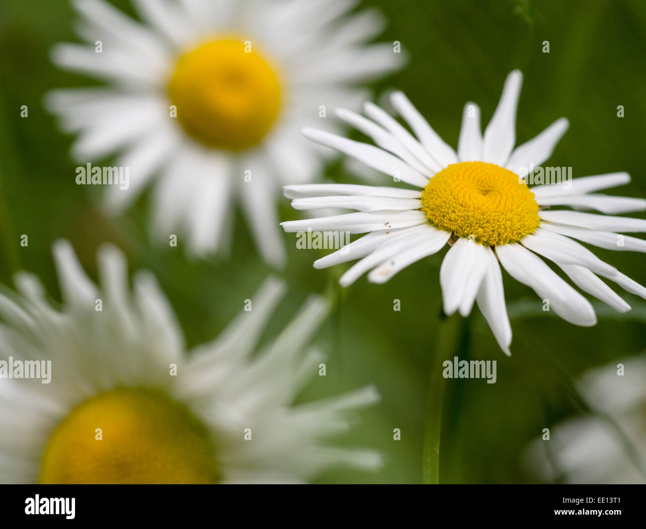 Ox-eye Daisies or Common Daisies. Wild Daisies, oxeye daisies growing in a small opening in the woods. Stock Photo