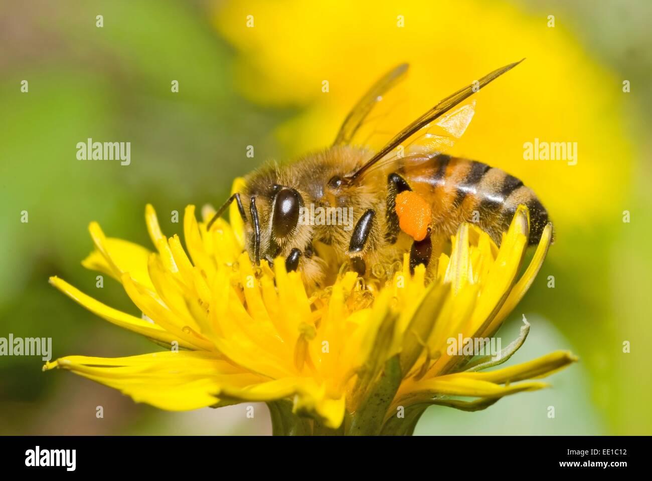 A Western Honey Bee (Apis mellifera) on a Dandelion flower (Taraxacum) - Stock Image