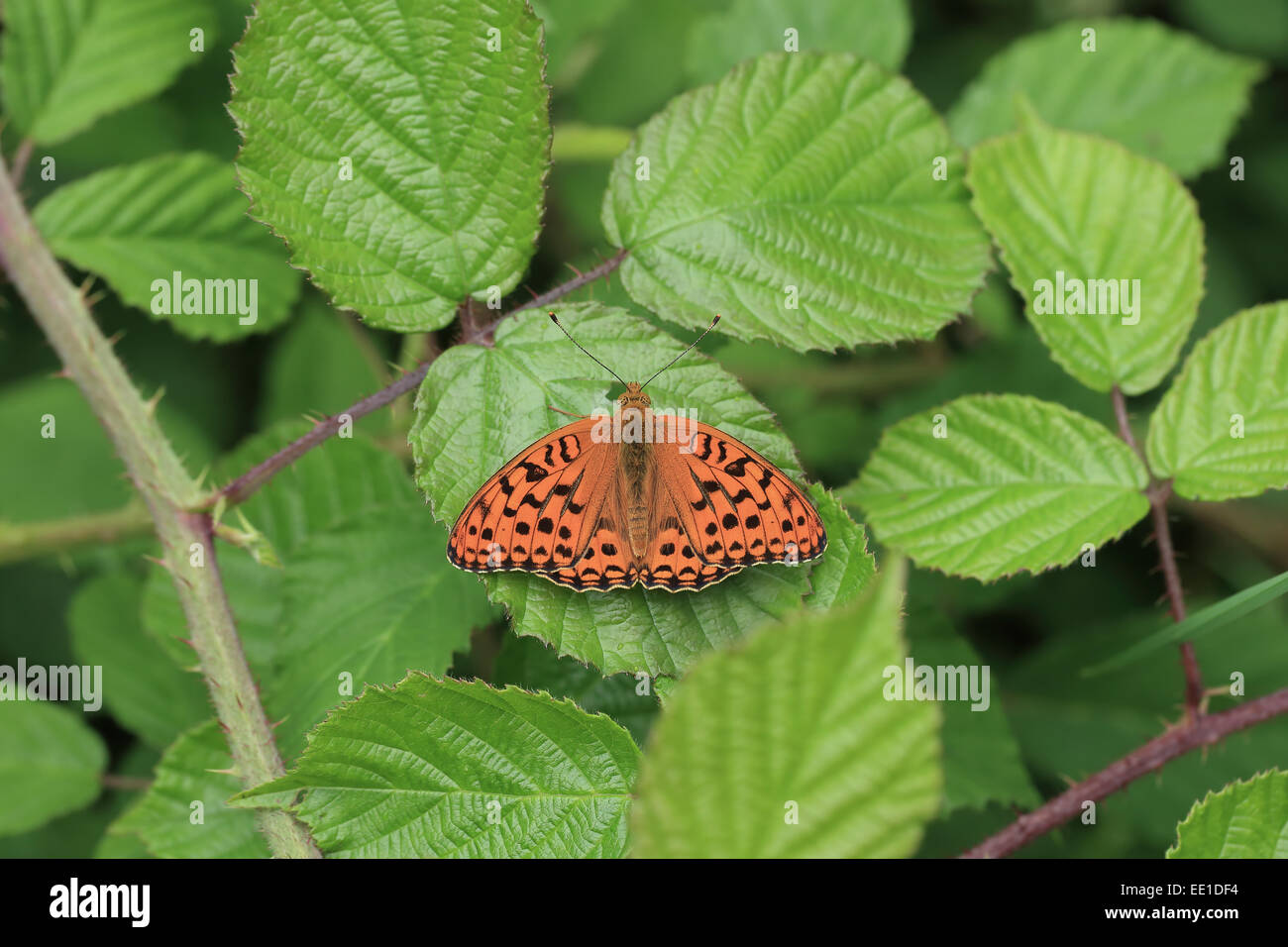 High Brown Fritillary (Argynnis adippe) adult, resting on bramble leaf, Hautes-Pyrenees, Midi-Pyrenees, France, - Stock Image