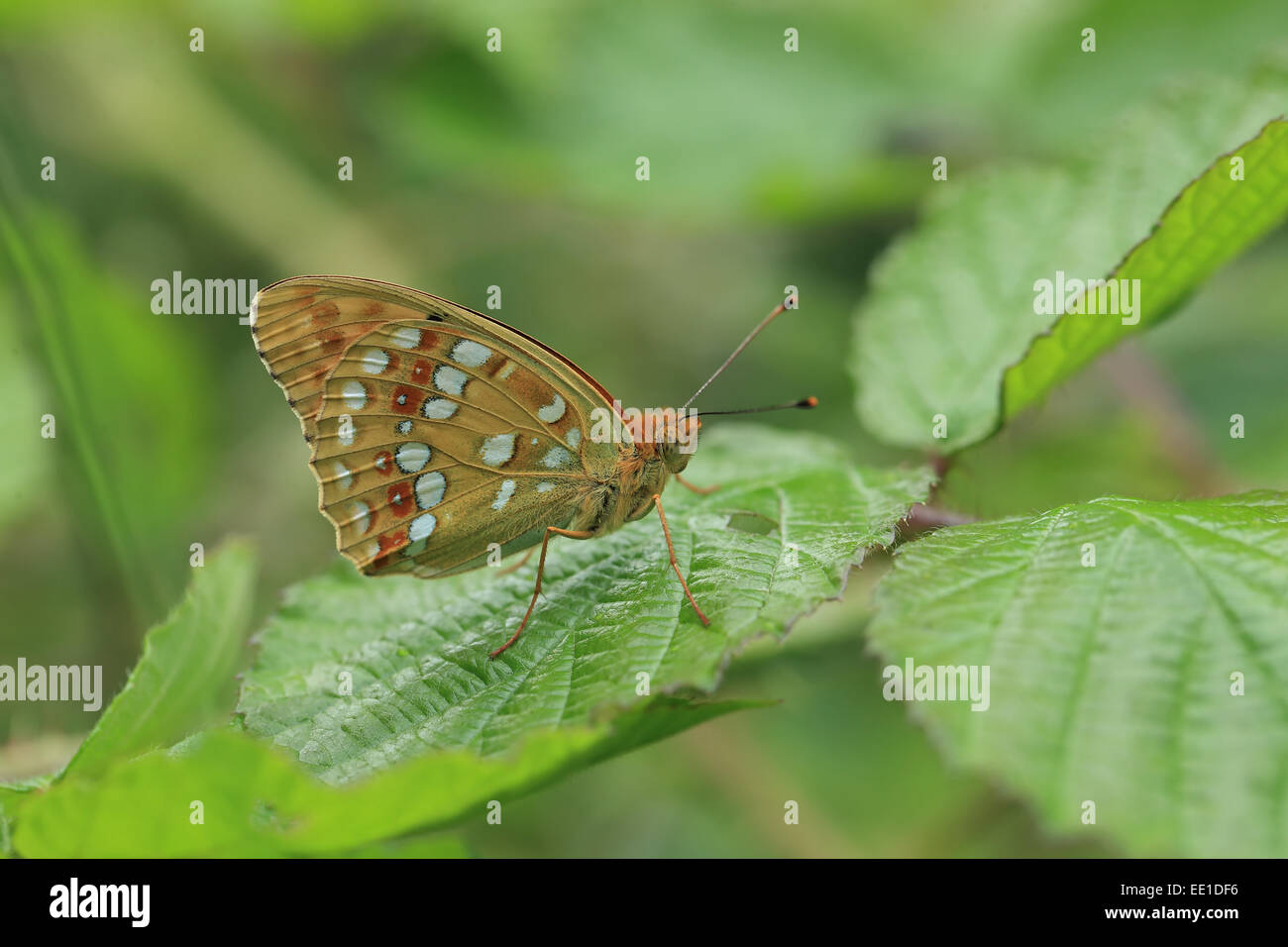 High Brown Fritillary (Argynnis adippe) adult, resting on leaf, Hautes-Pyrenees, Midi-Pyrenees, France, June - Stock Image