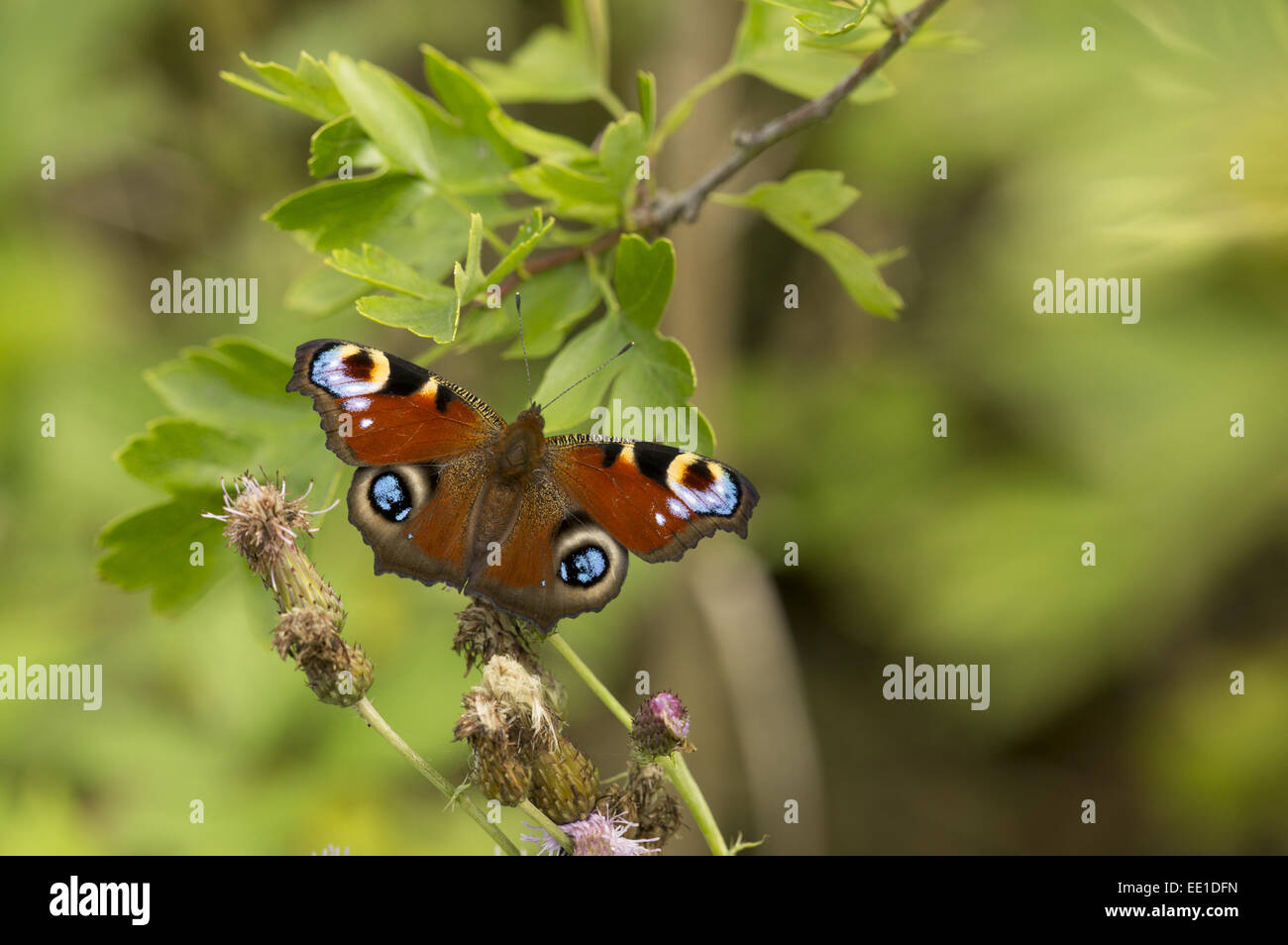 Peacock Butterfly (Inachis io) adult, resting on thistle flowerhead, Yorkshire, England, July - Stock Image