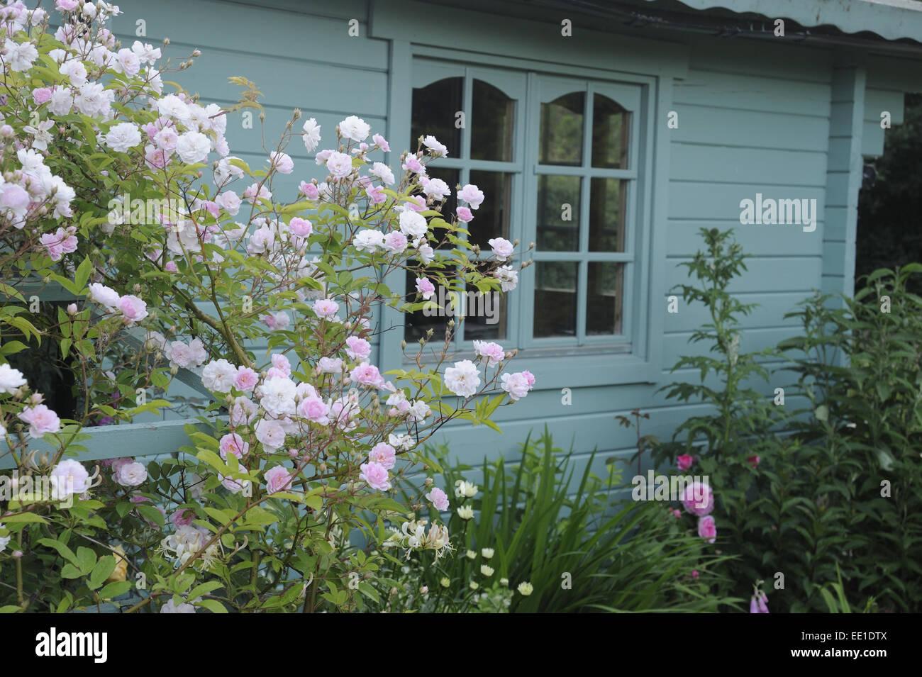 Cultivated Rambling Rose (Rosa sp.) 'David Austin', flowering, growing on trellis beside wooden summerhouse - Stock Image